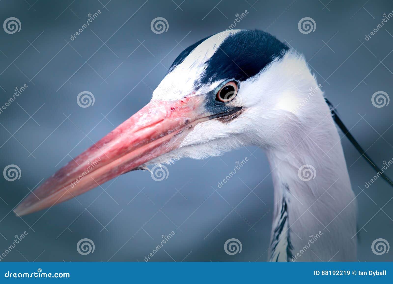 Pássaro vadeando bonito Cabeça da garça-real Imagem estética dos animais selvagens