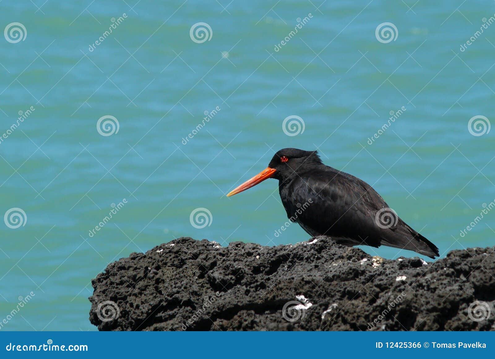 Pássaro variável da pega-do-mar