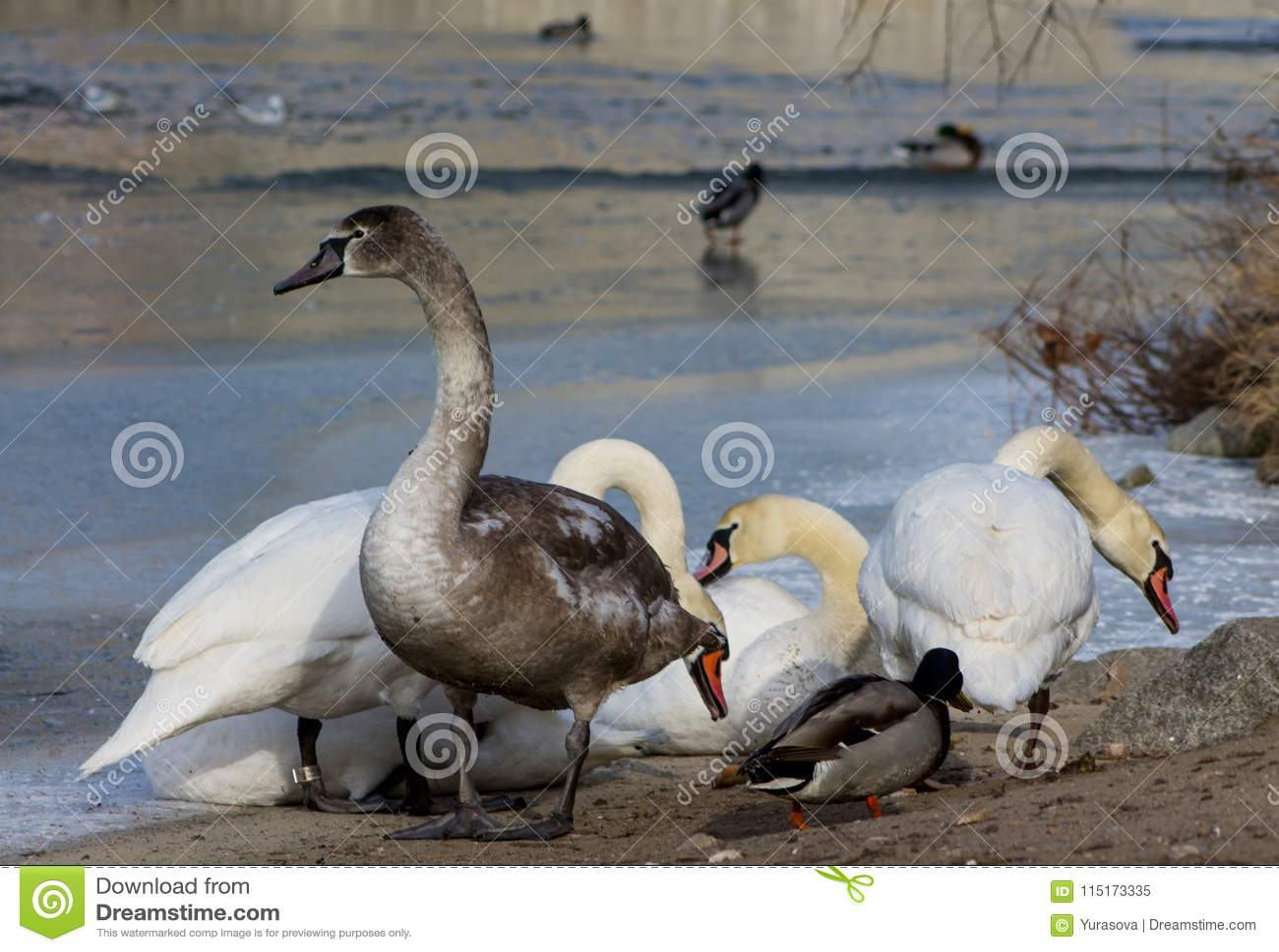Pássaros brancos e cinzentos da cisne em um lago
