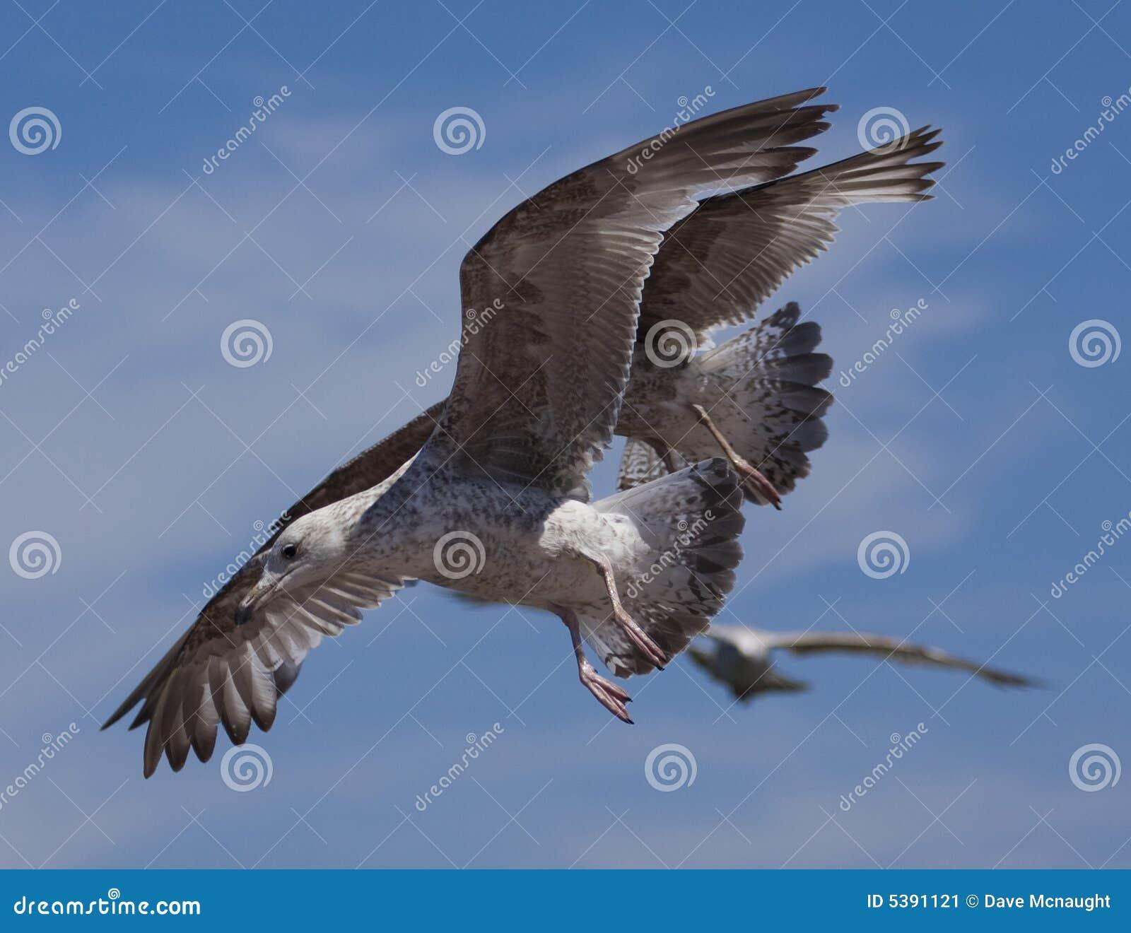 Pássaros da gaivota no vôo