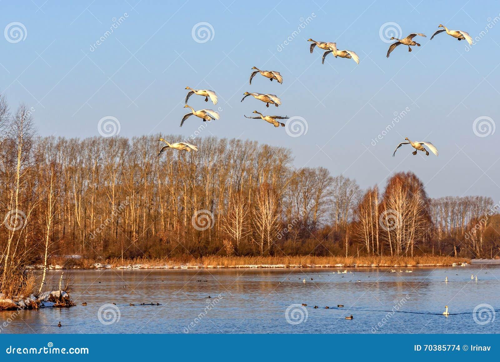Pássaros da mosca do lago swans