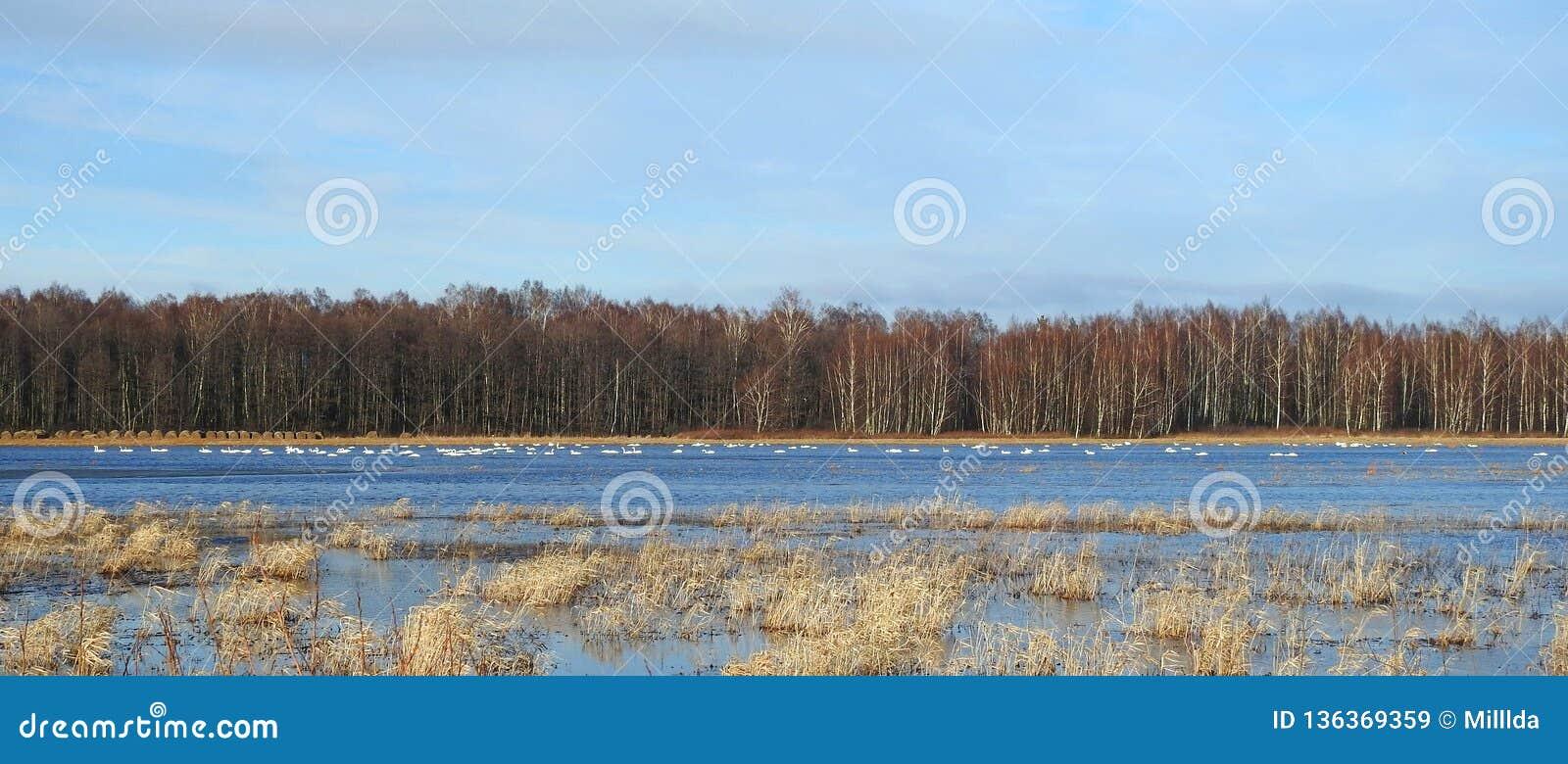 Pássaros das cisnes no campo de inundação, Lituânia