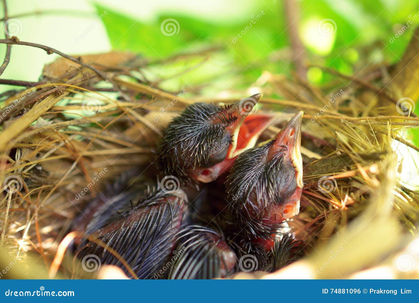 Pássaros de bebê com fome recém-nascidos