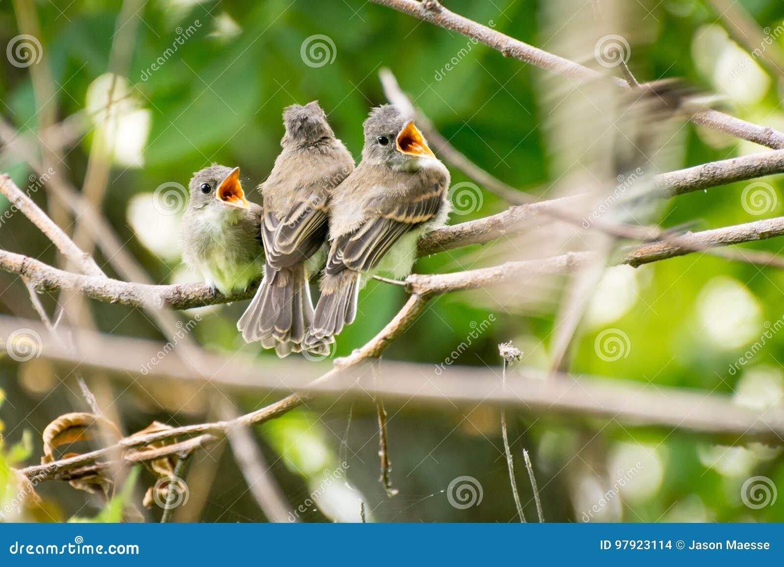 3 pássaros de bebê que sentam-se em um ramo que espera para ser alimentado