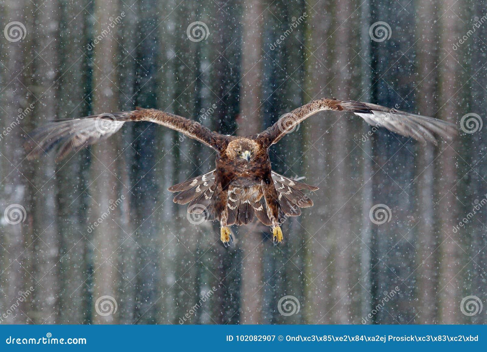 Pássaros de voo da águia dourada de rapina com grande envergadura, foto com o floco durante o inverno, floresta escura da neve no