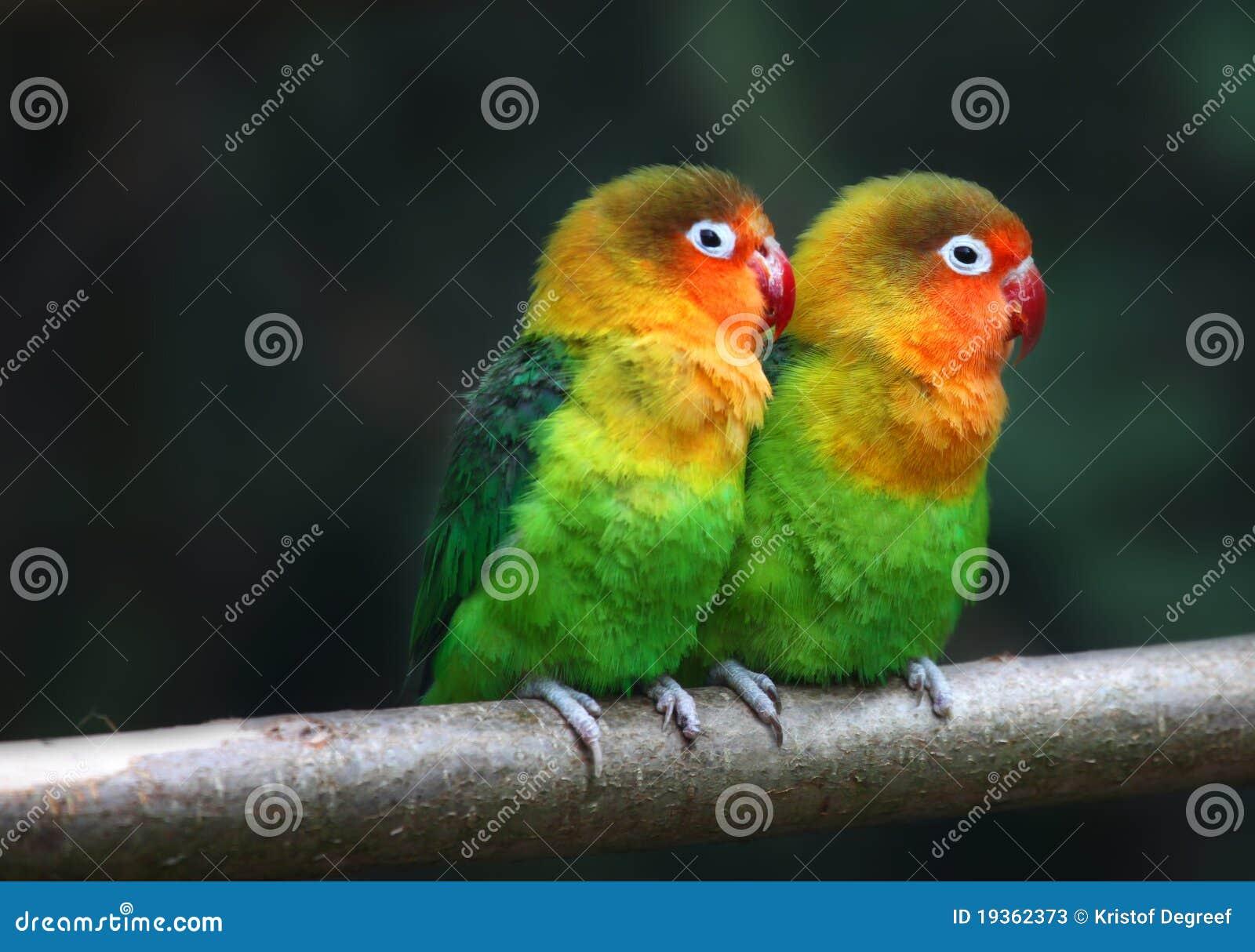 Pássaros do amor, fischeri de Agopornis