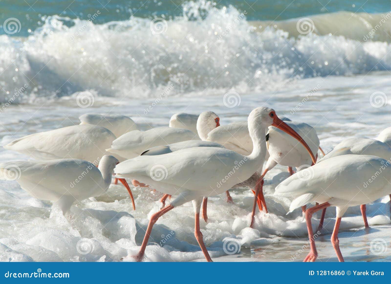 Pássaros do branco de Florida