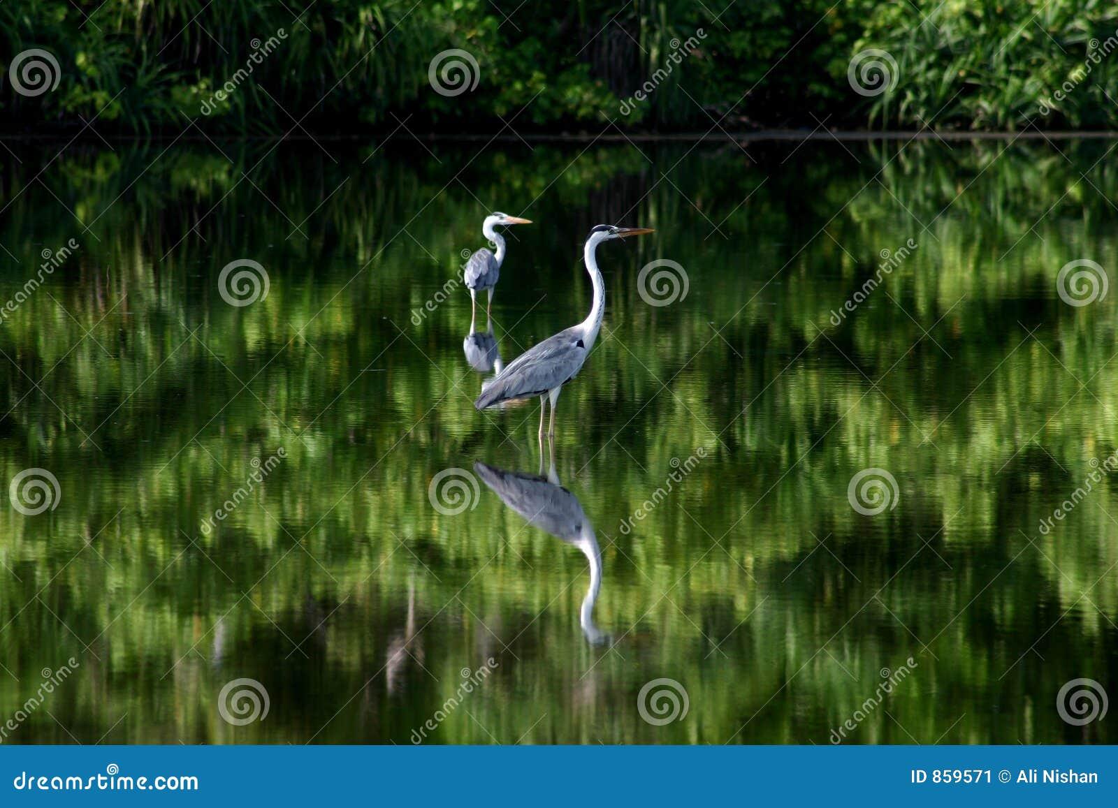 Pássaros nos manguezais