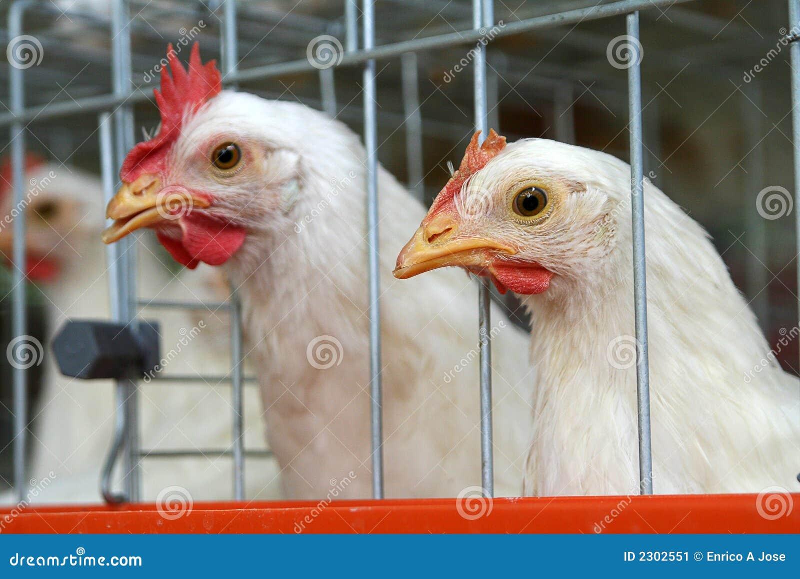 Pássaros prendidos