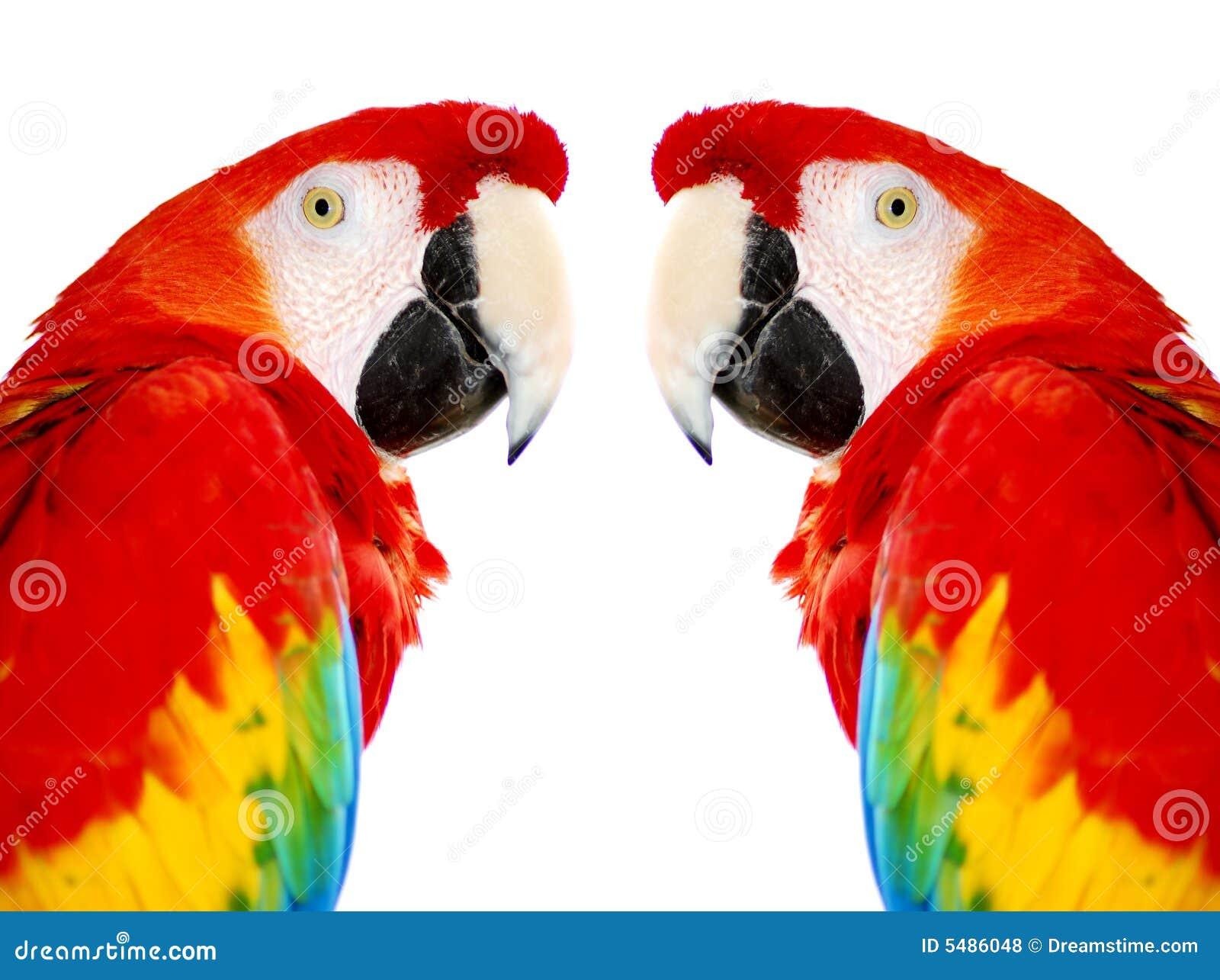 Pássaros vermelhos dourados do papagaio do Macaw