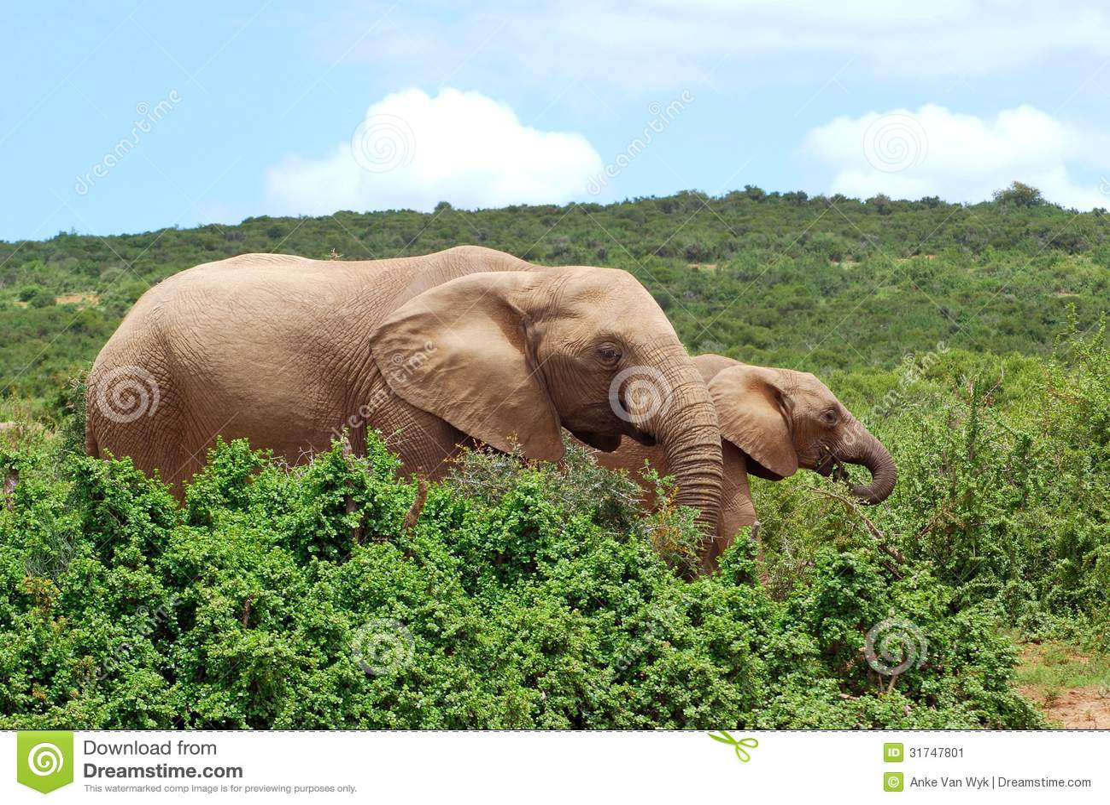 Pâturage d éléphants africains