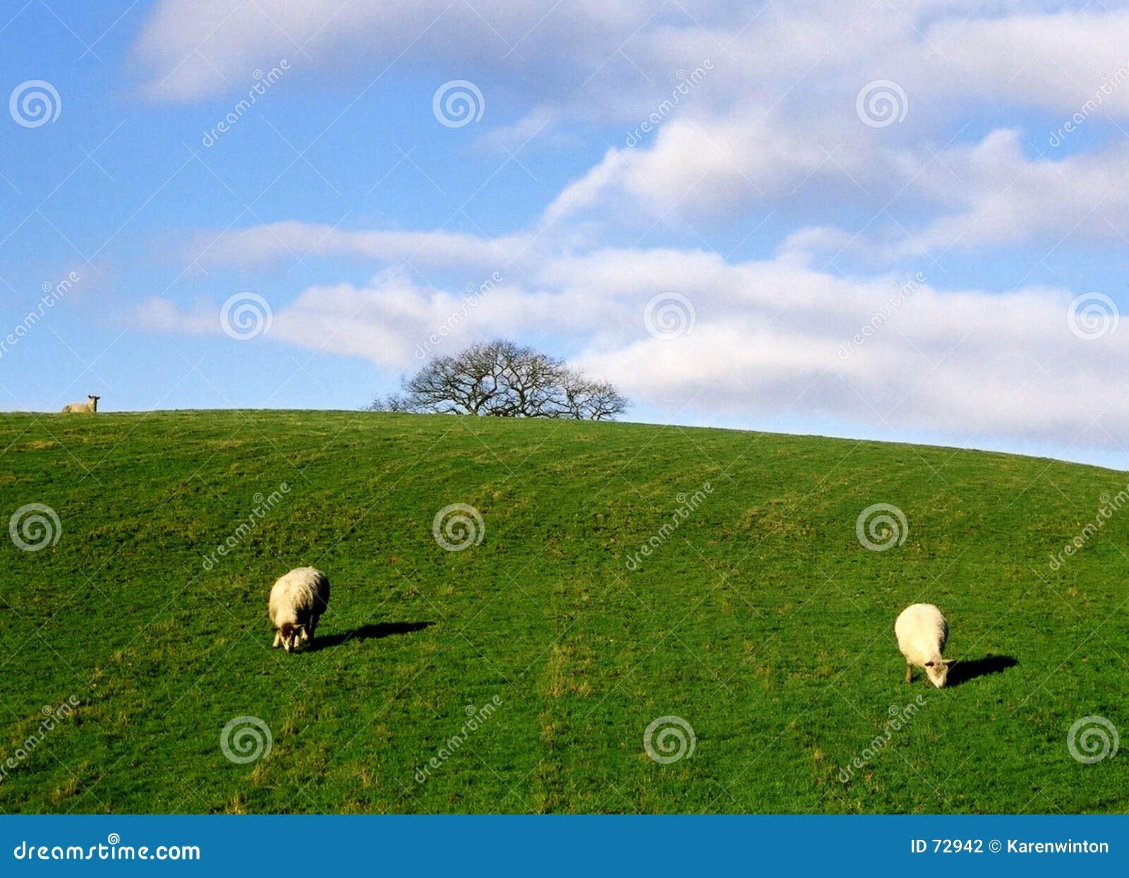 Pâturage de moutons