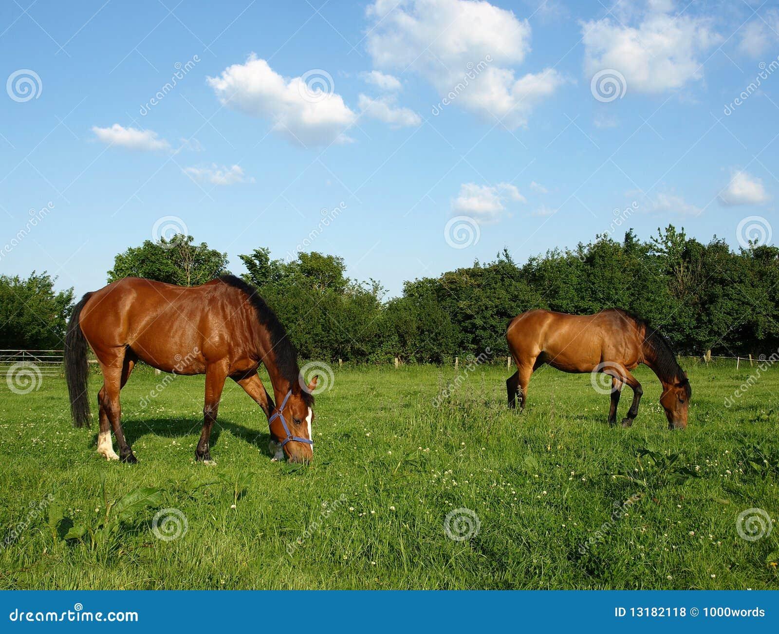Pâturage des chevaux