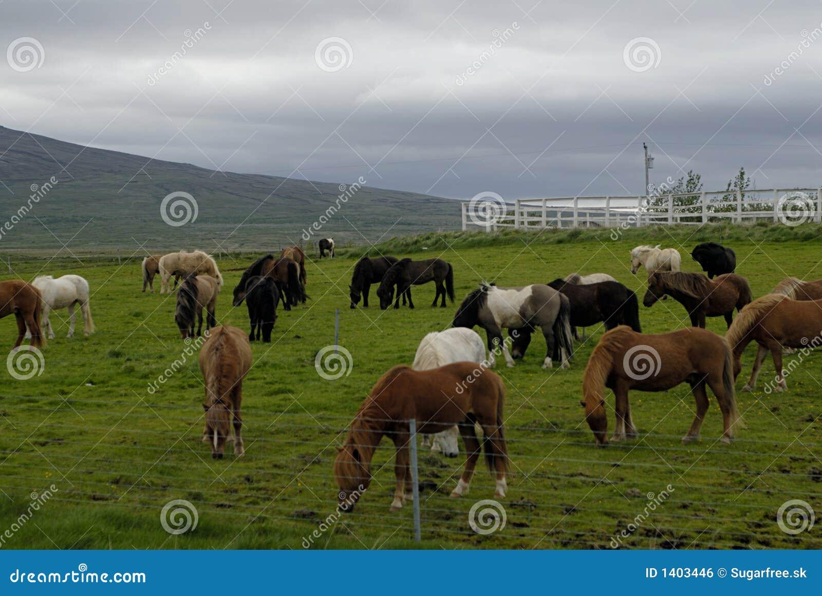 Pâturage des chevaux islandais