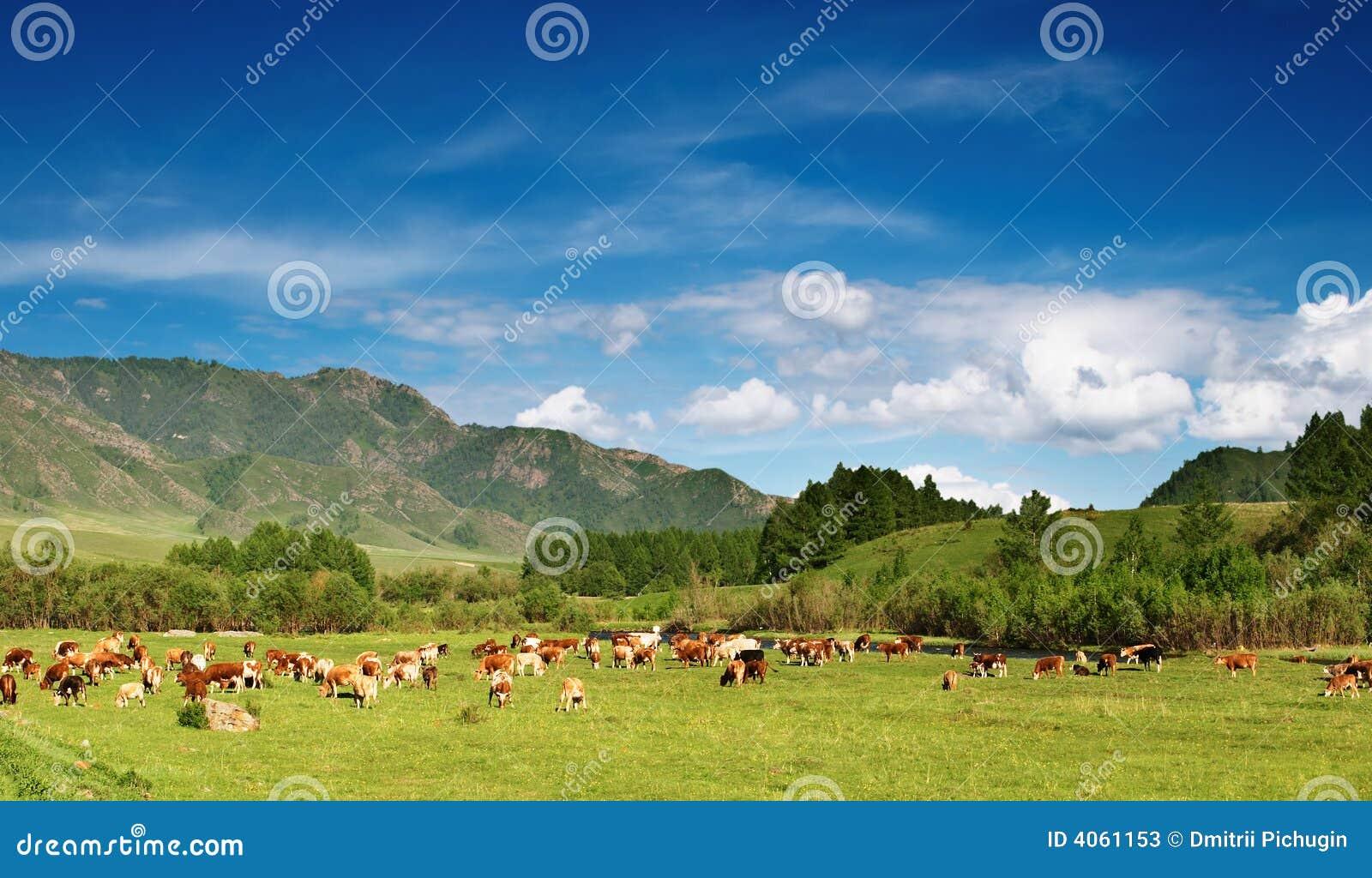 Pâturage des vaches