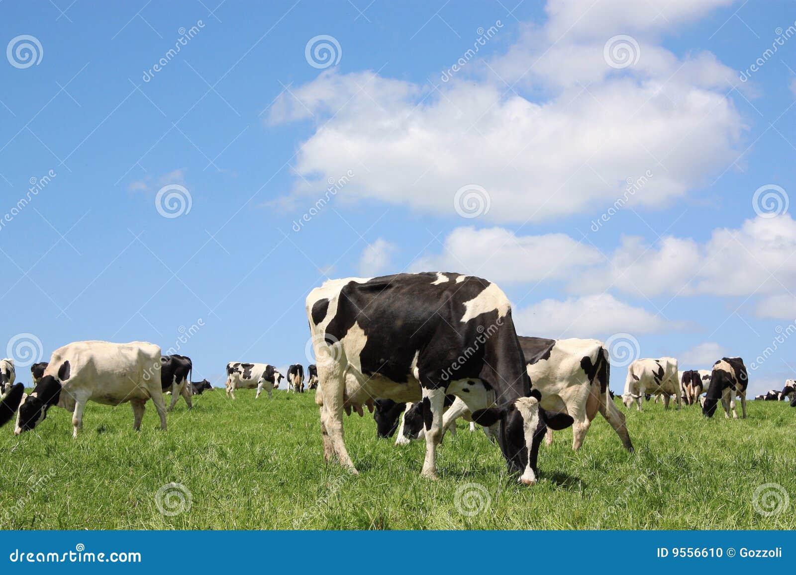 Pâturage des vaches laitières