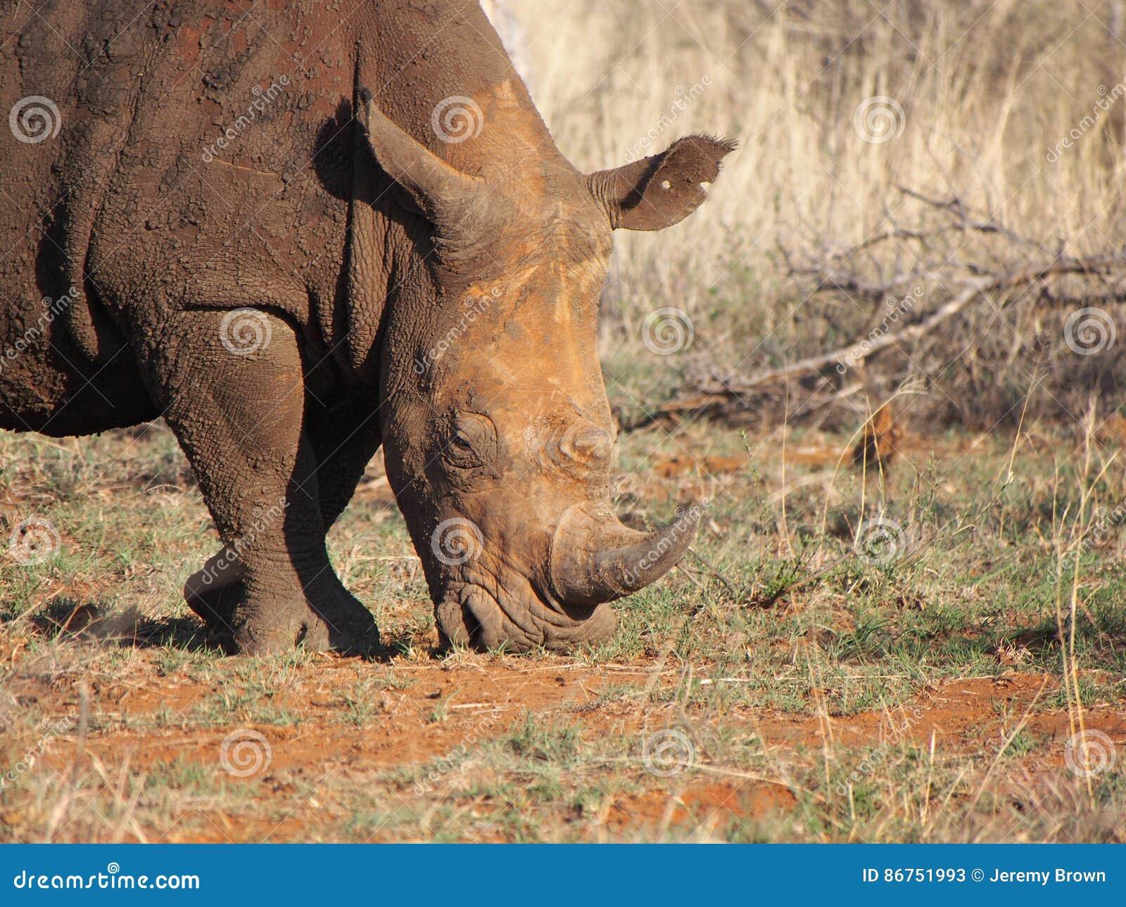 Pâturage du rhinocéros blanc