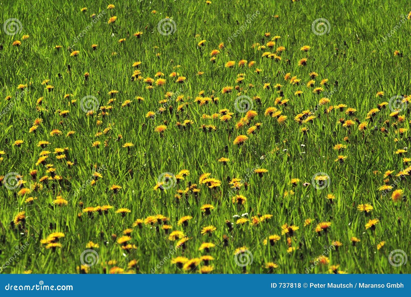 Pâturages avec les fleurs 01