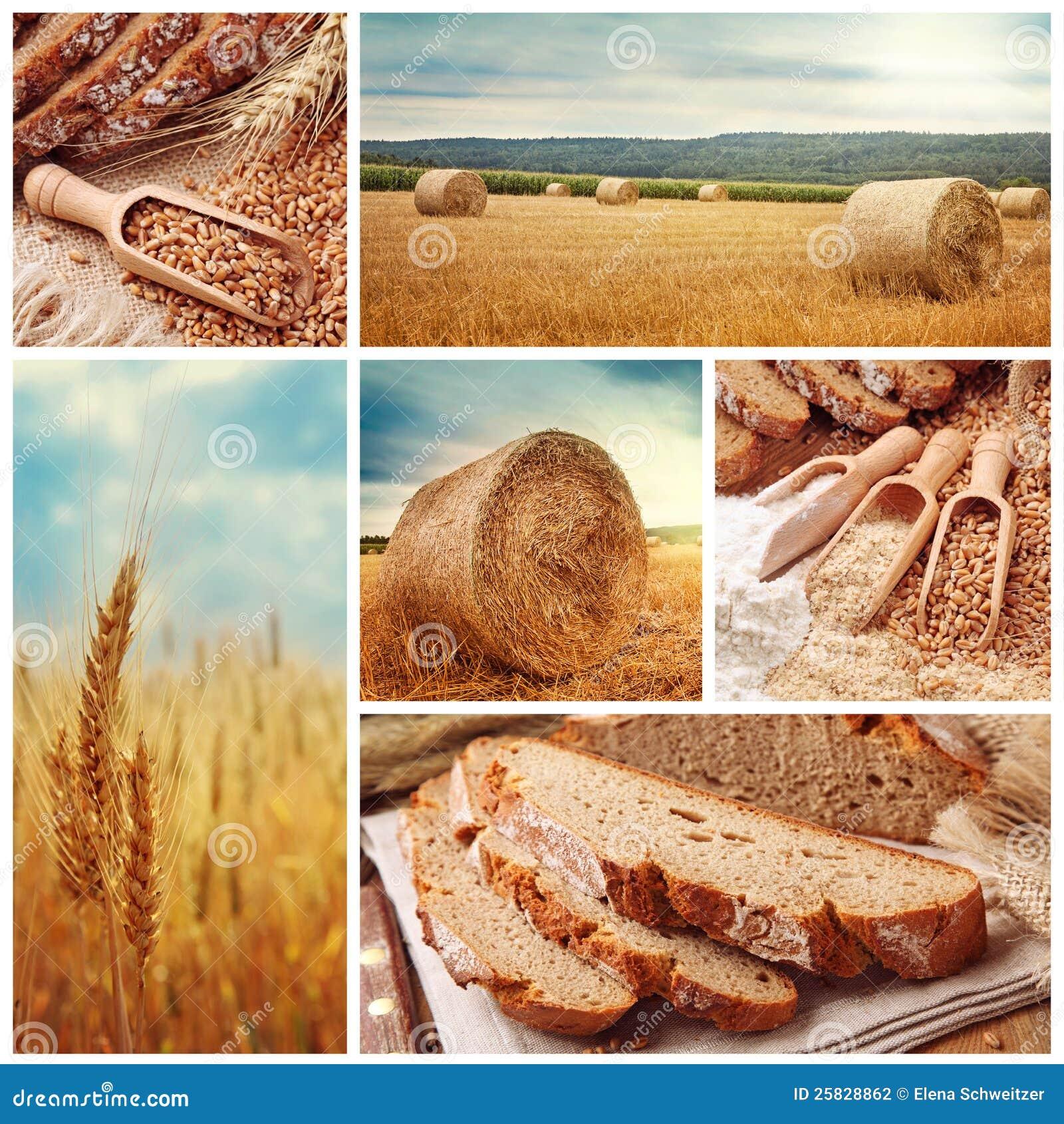 Pão e trigo da colheita