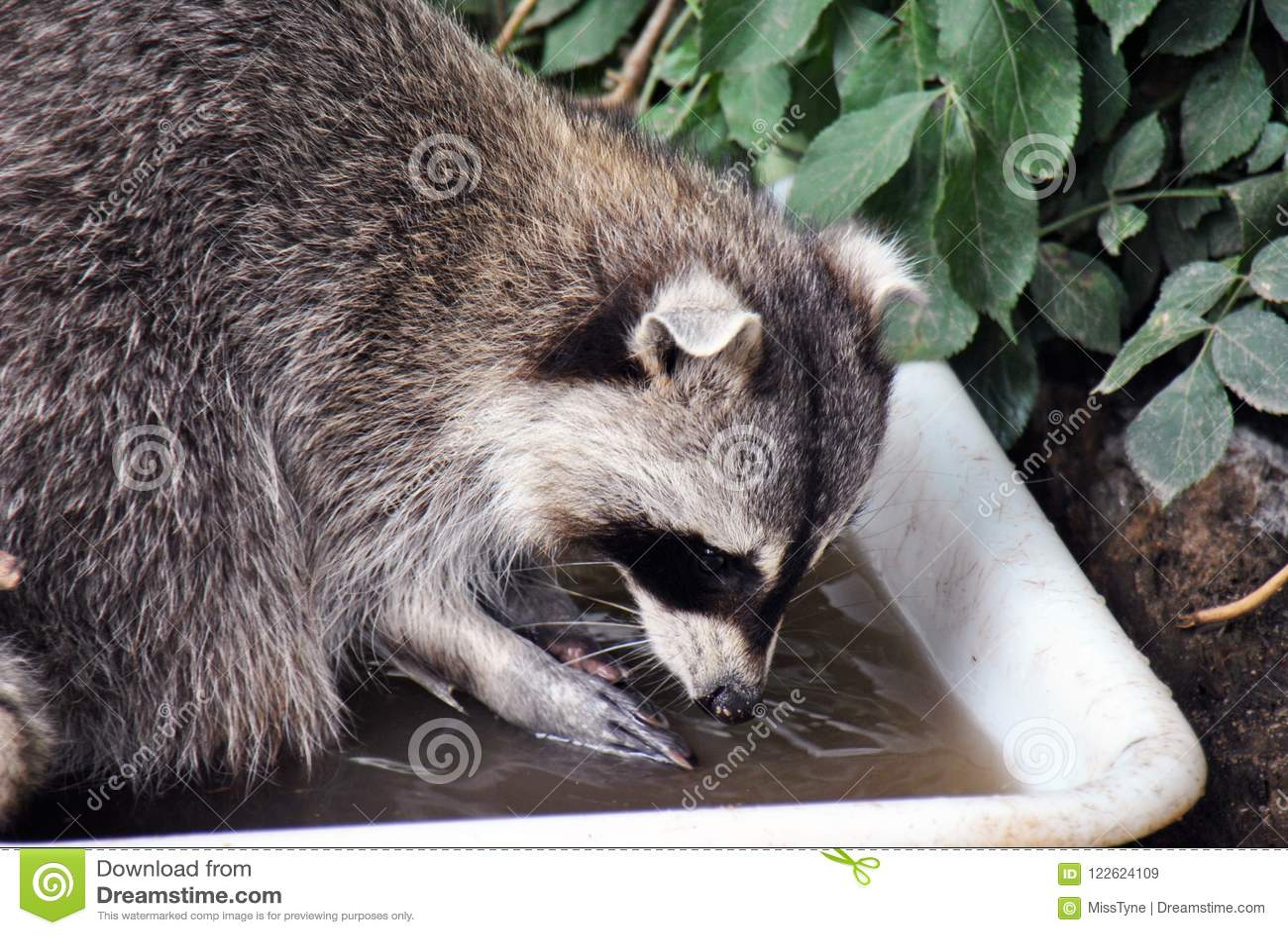 Päls- tvättbjörn som tvättar dess mat