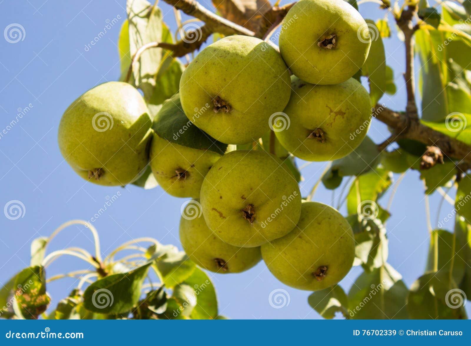 Päronen på trädet som ett symbol av landslivet