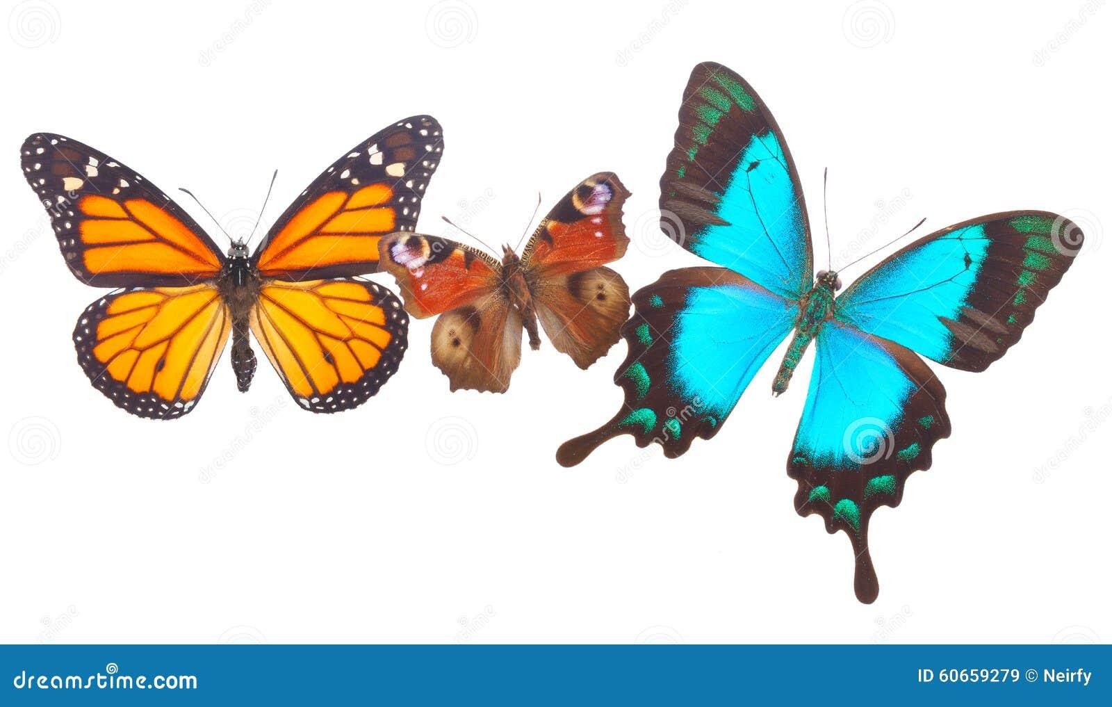 Påfågel-, monark- och havsgräsplan Swallowtail