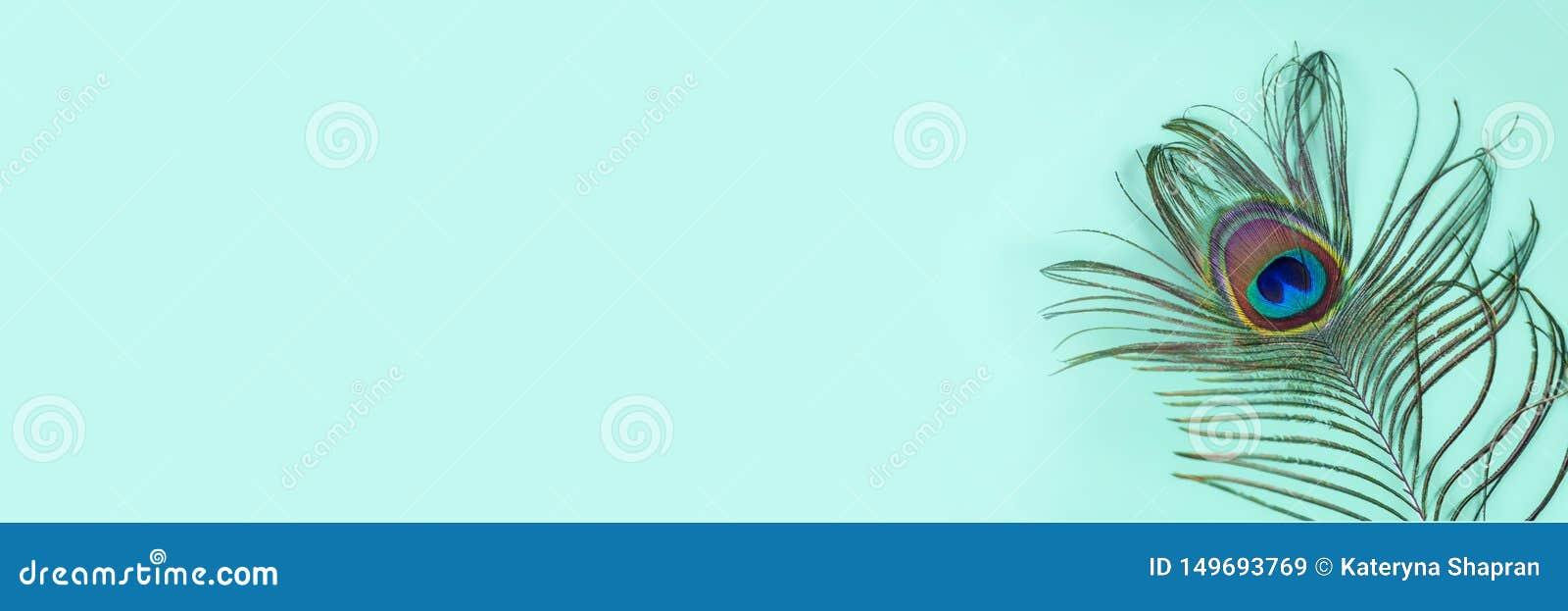 Påfågelfjäder på en turkosbakgrund, bästa sikt Moderiktiga ljusa f?rger Utrymme f?r text Brett baner