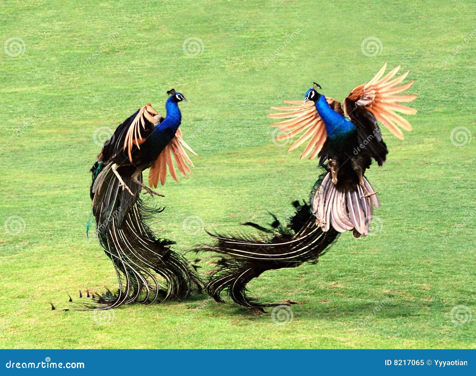 Påfåglar två