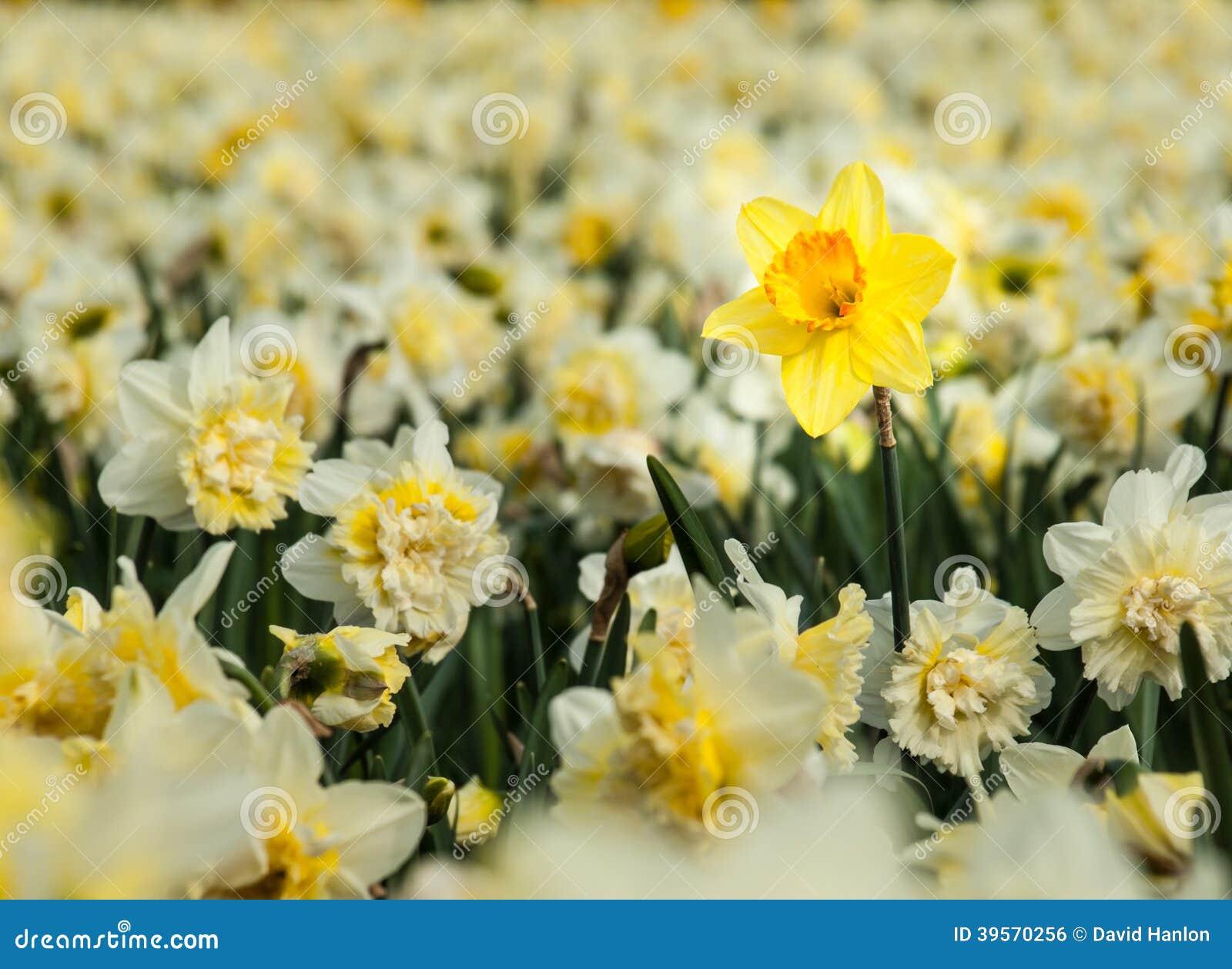 Påsklilja för gul trumpet i ett fält av vita påskliljor