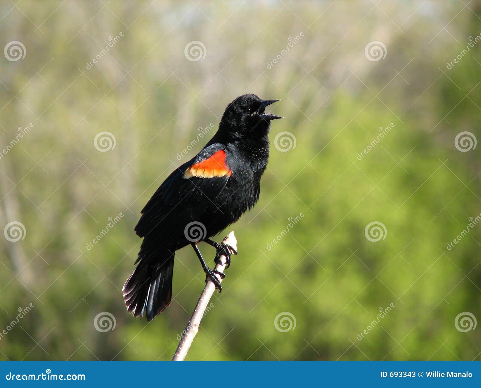 Påskyndad red för 4 blackbird