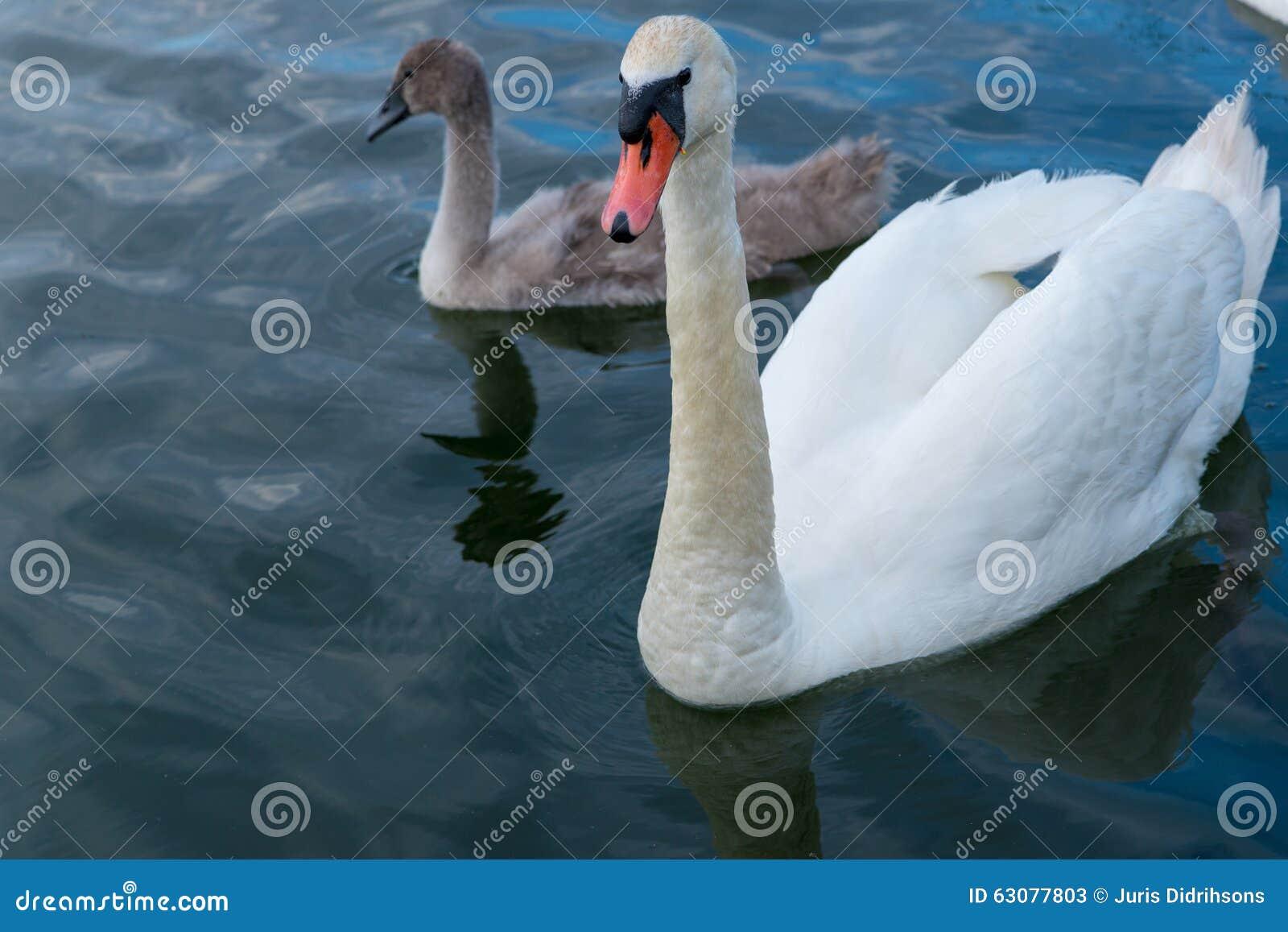 Download Père De Cygne Avec La Natation D'enfant Image stock - Image du canard, animaux: 63077803