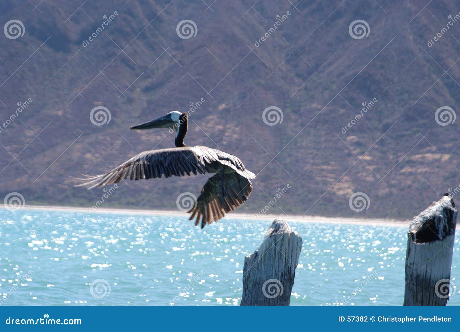 Download Pélican en vol photo stock. Image du océan, mexico, clavettes - 57382