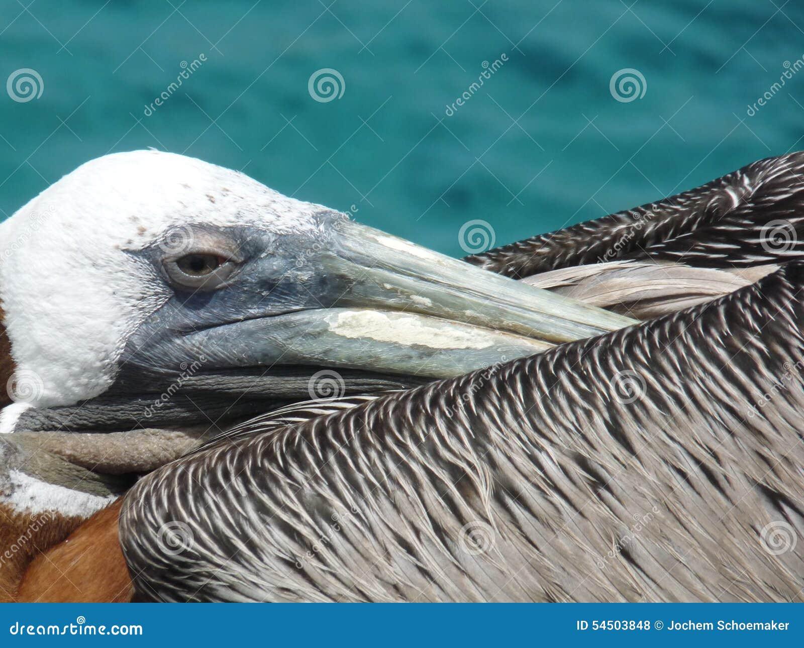 Pélican tropical d oiseau