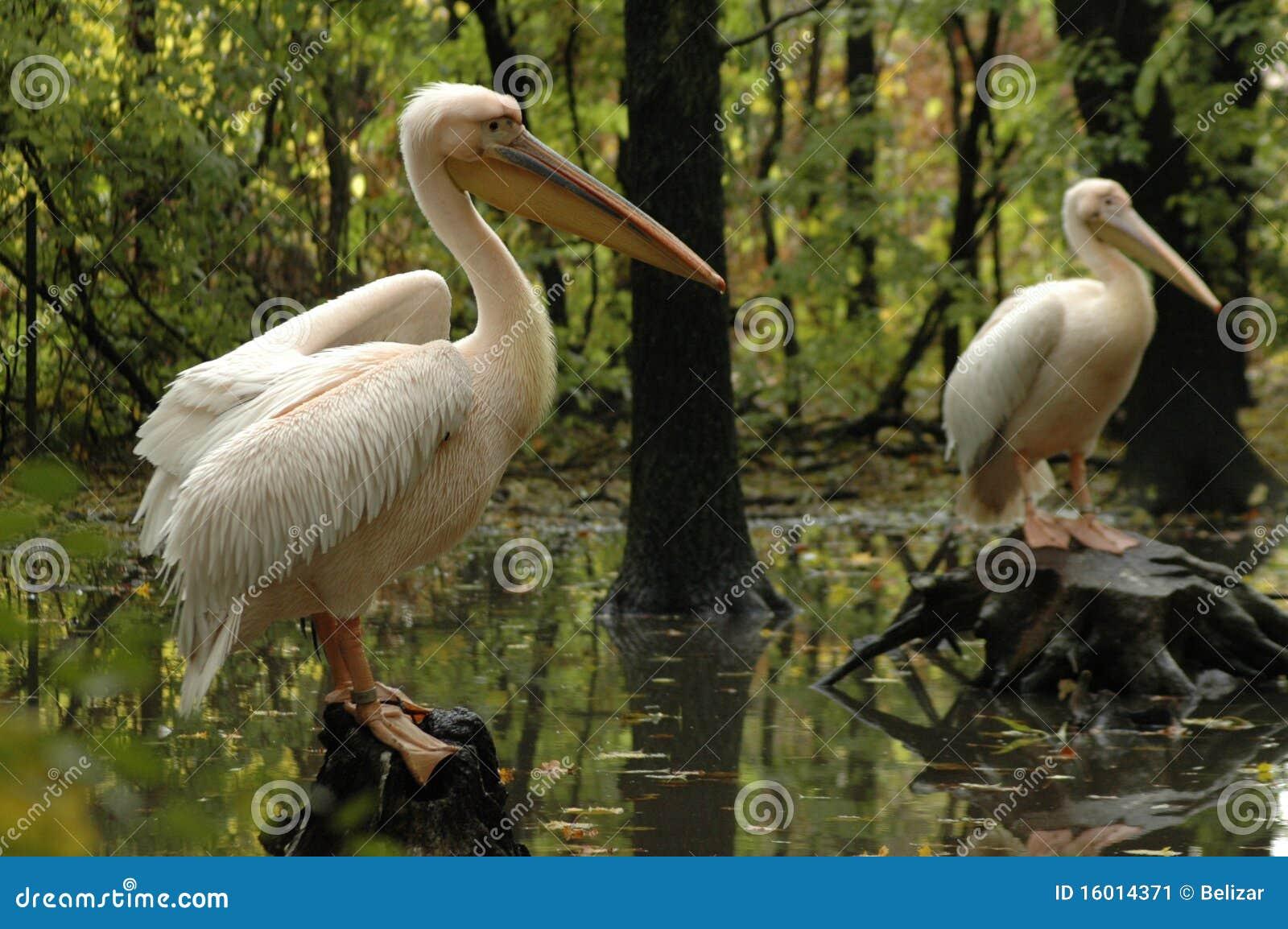 Pélicans blancs grands (onocrotalus de Pelecanus)