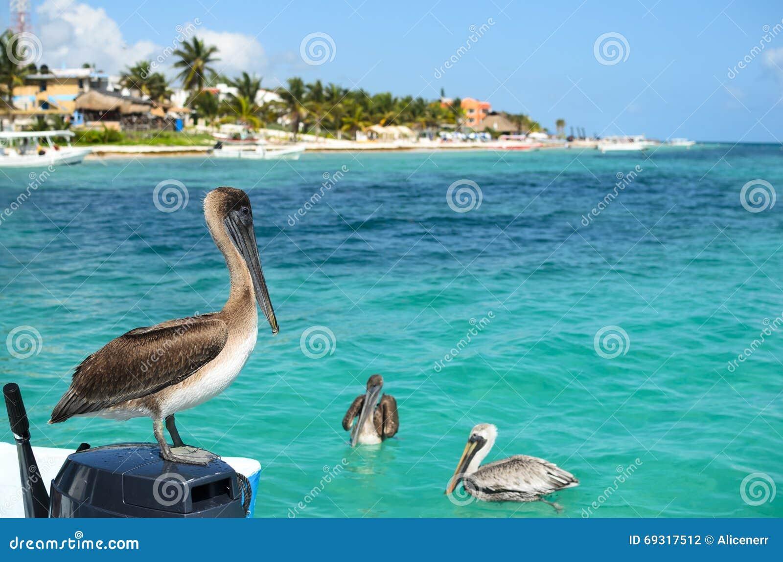 Pélicans de Brown en mer des Caraïbes à côté du paradis tropical Co