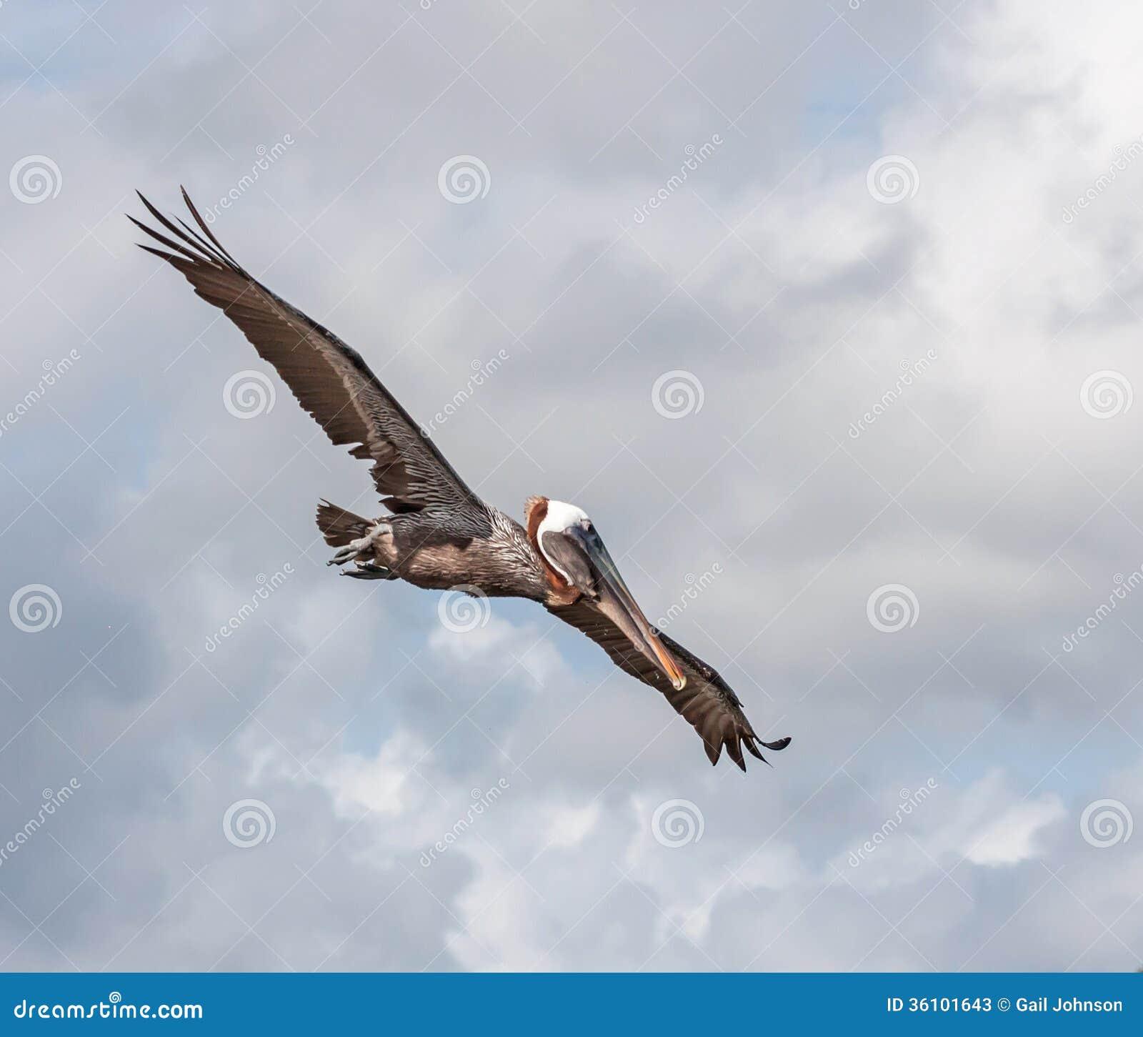 Pélicans de vol
