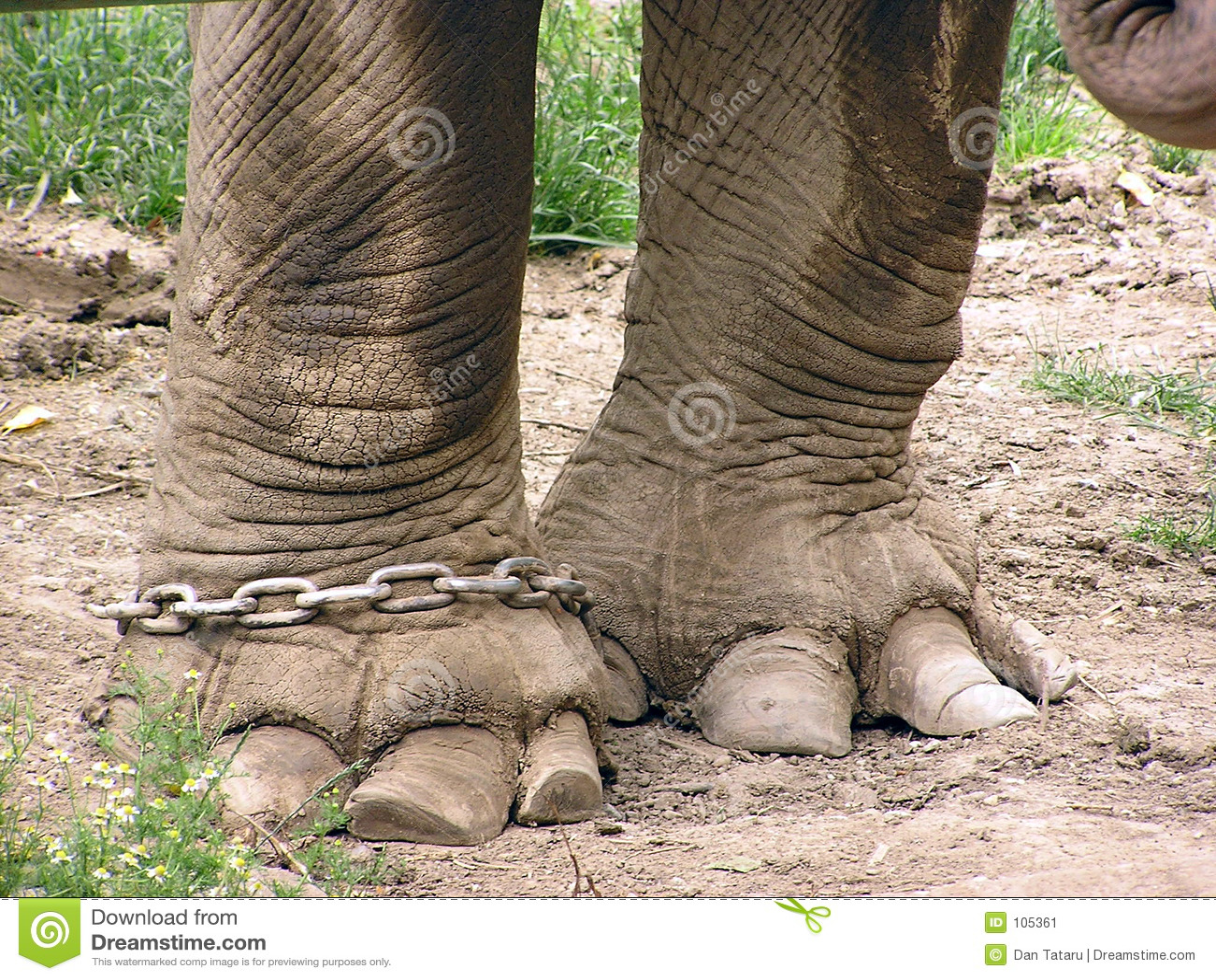 Pés de um elefante na corrente