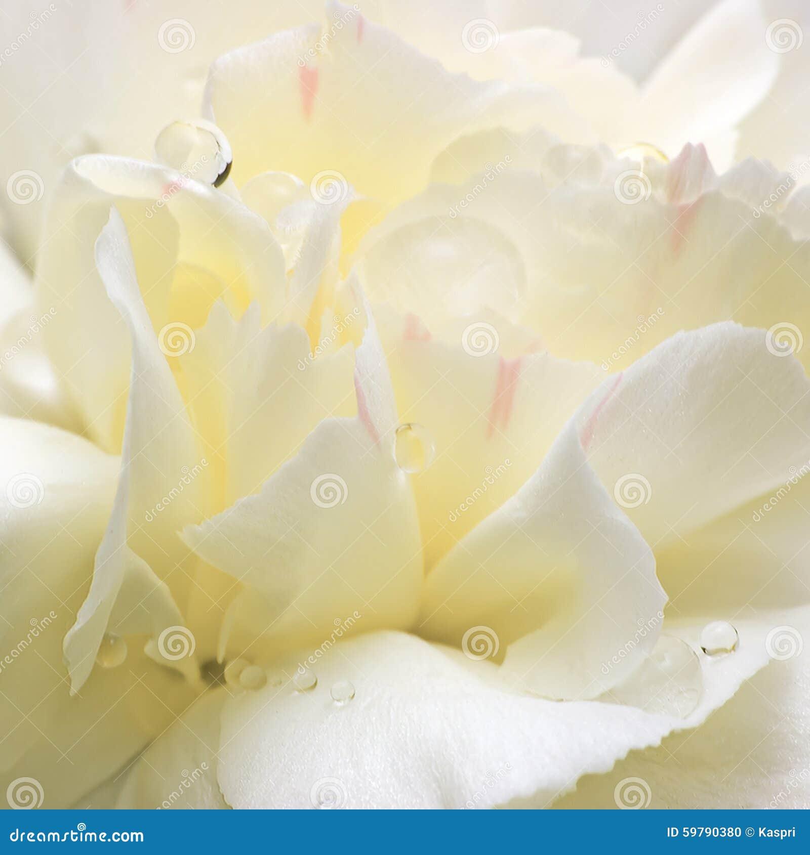 Pétalas abstratas da flor branca, grande close up macro detalhado, gotas de orvalho da água