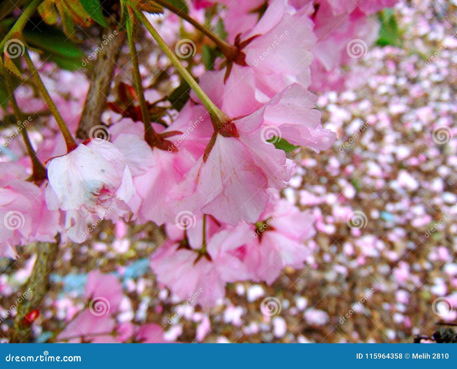 Pétalas cor-de-rosa da flor de cerejeira que colocam em uma terra da casca