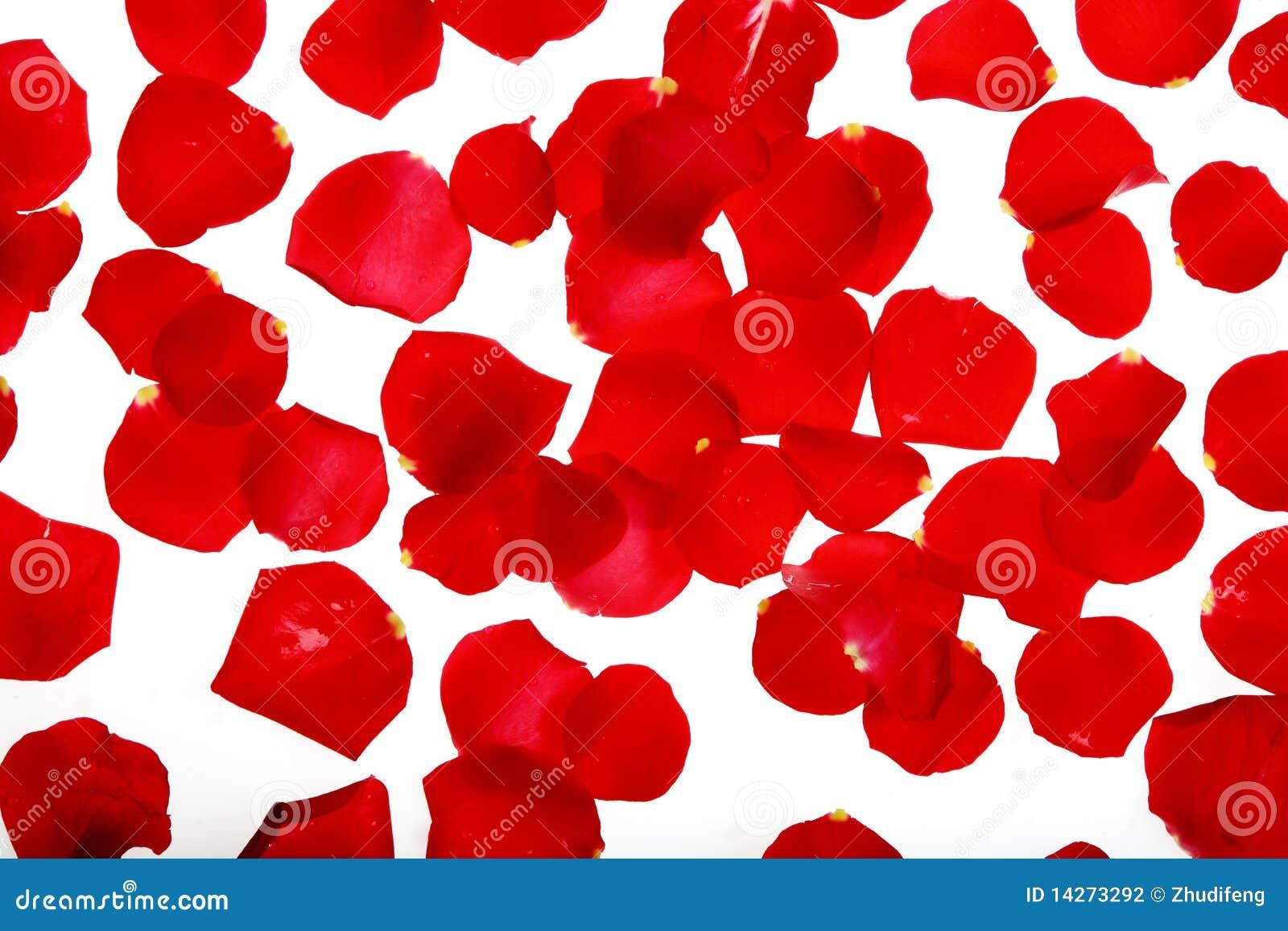 Pétalas de uma rosa