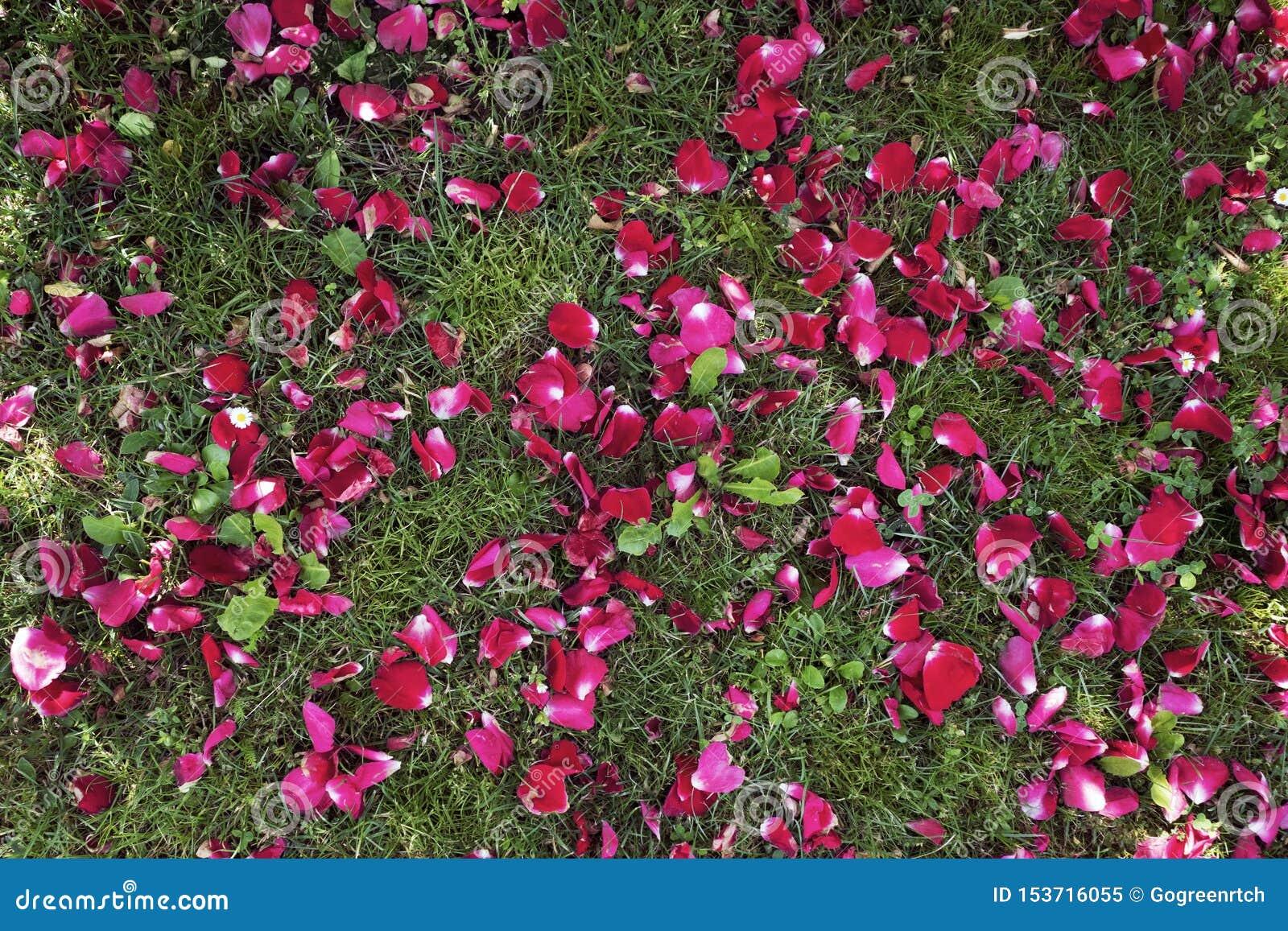 Pétalas vermelhas da flor na grama em um dia de verão ensolarado