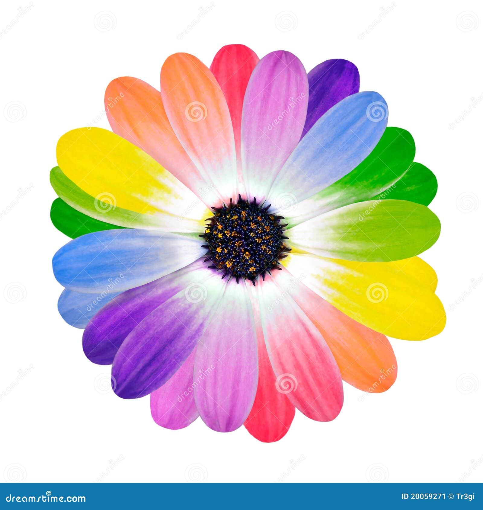 p tales color s multi d 39 arc en ciel de fleur de marguerite image stock image 20059271. Black Bedroom Furniture Sets. Home Design Ideas