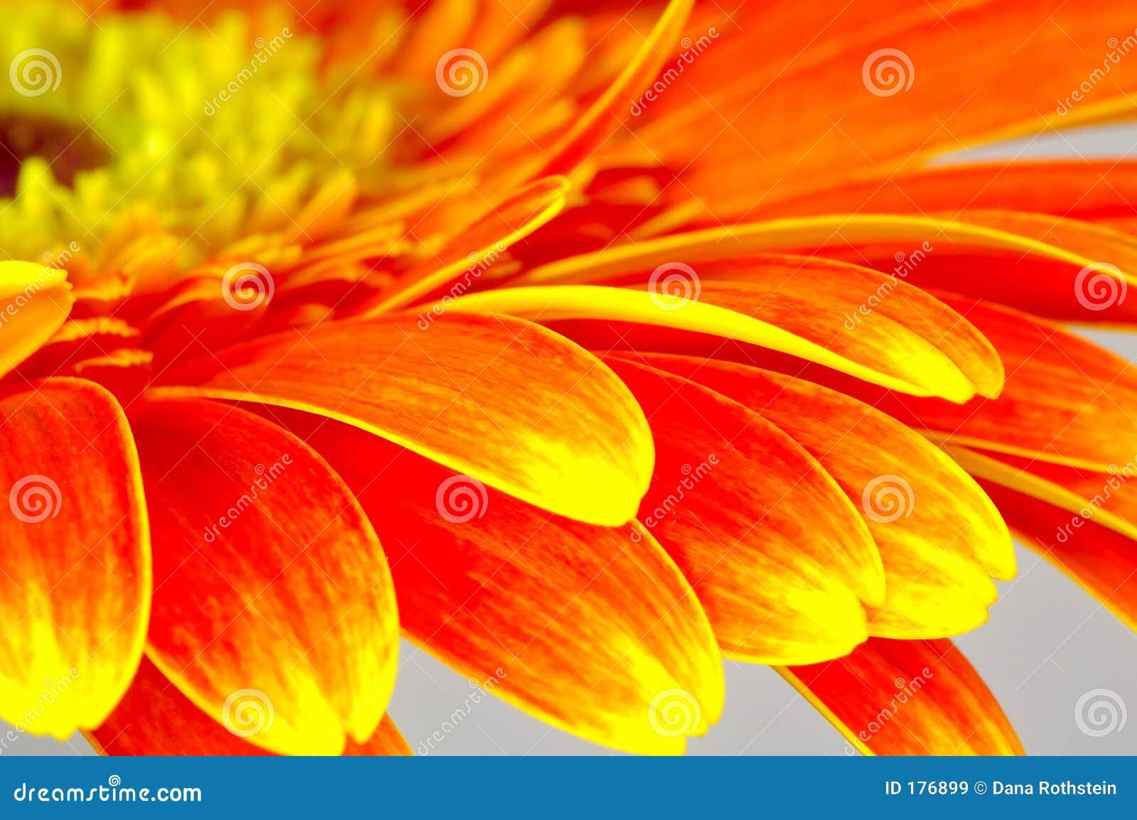 Pétales de fleur