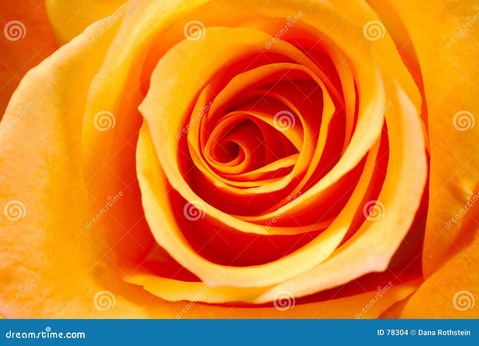 Pétales de Rose oranges