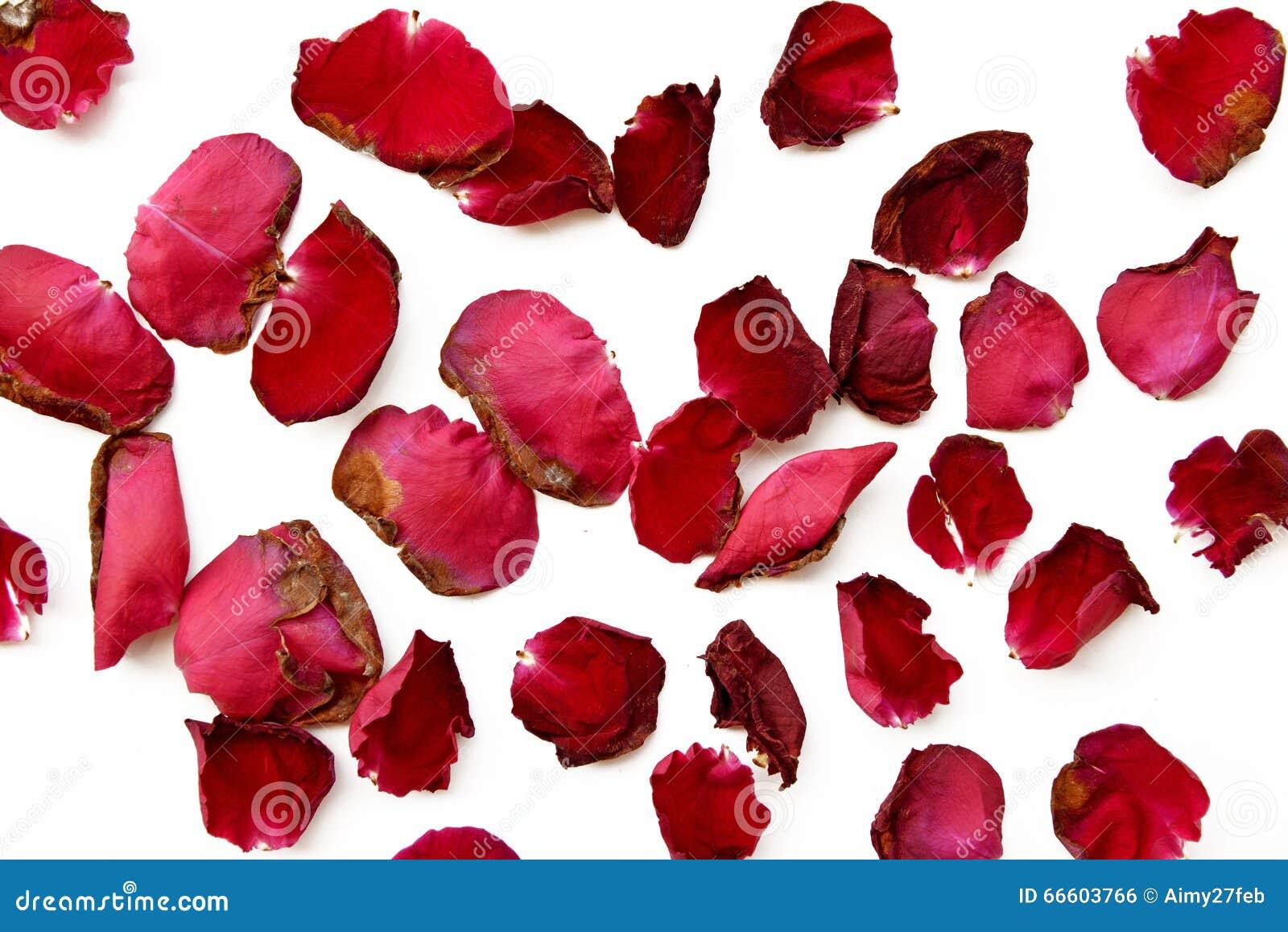 p tales de rose rouges secs sur le blanc photo stock image du fond valentine 66603766. Black Bedroom Furniture Sets. Home Design Ideas