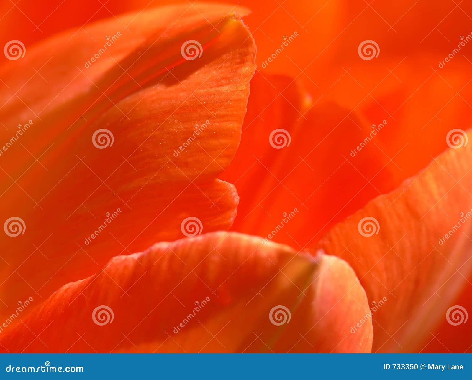 Pétales de tulipe