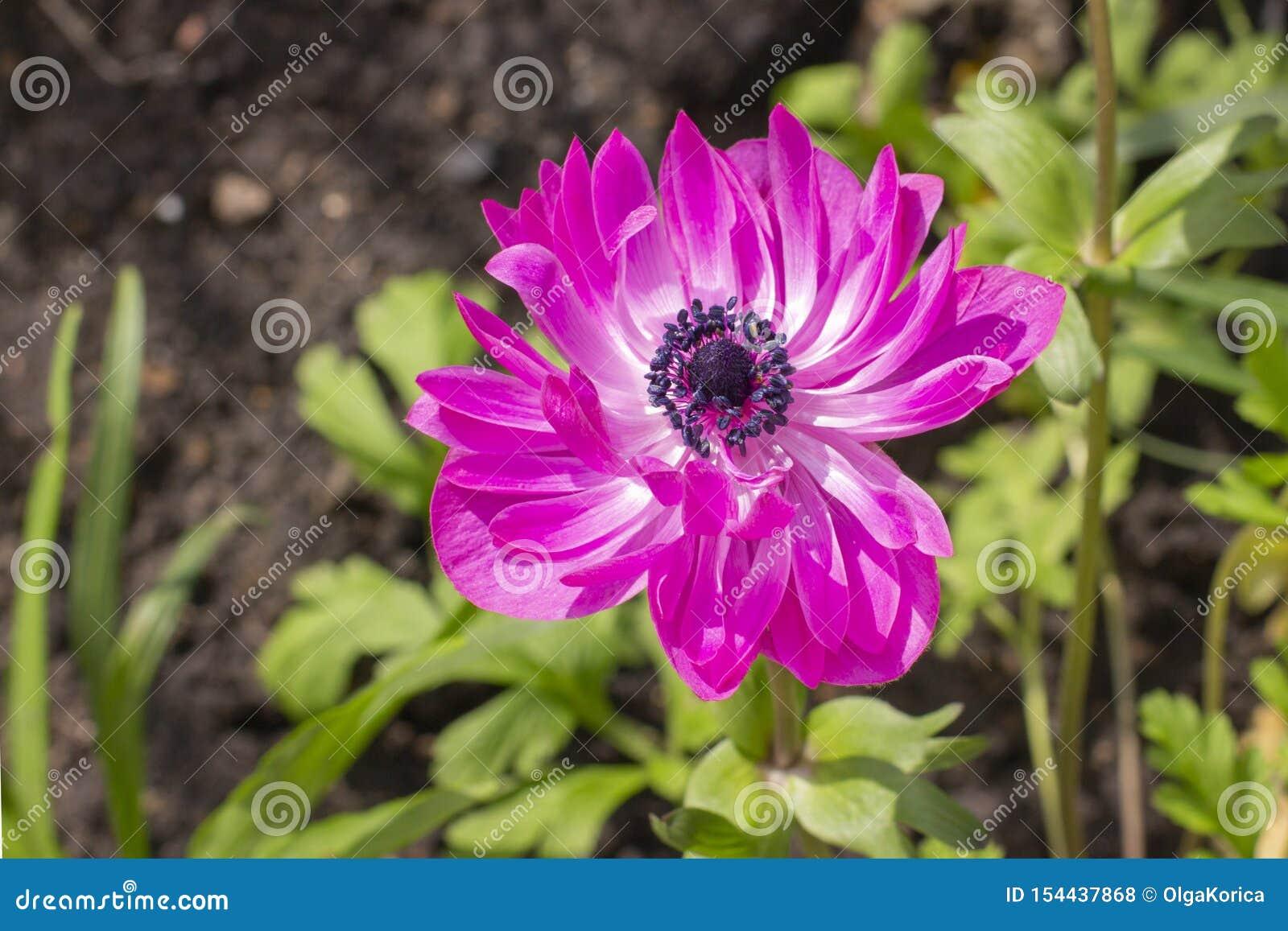 Petales Magenta D Anemone St Brigid Double Flowering Belle Fleur