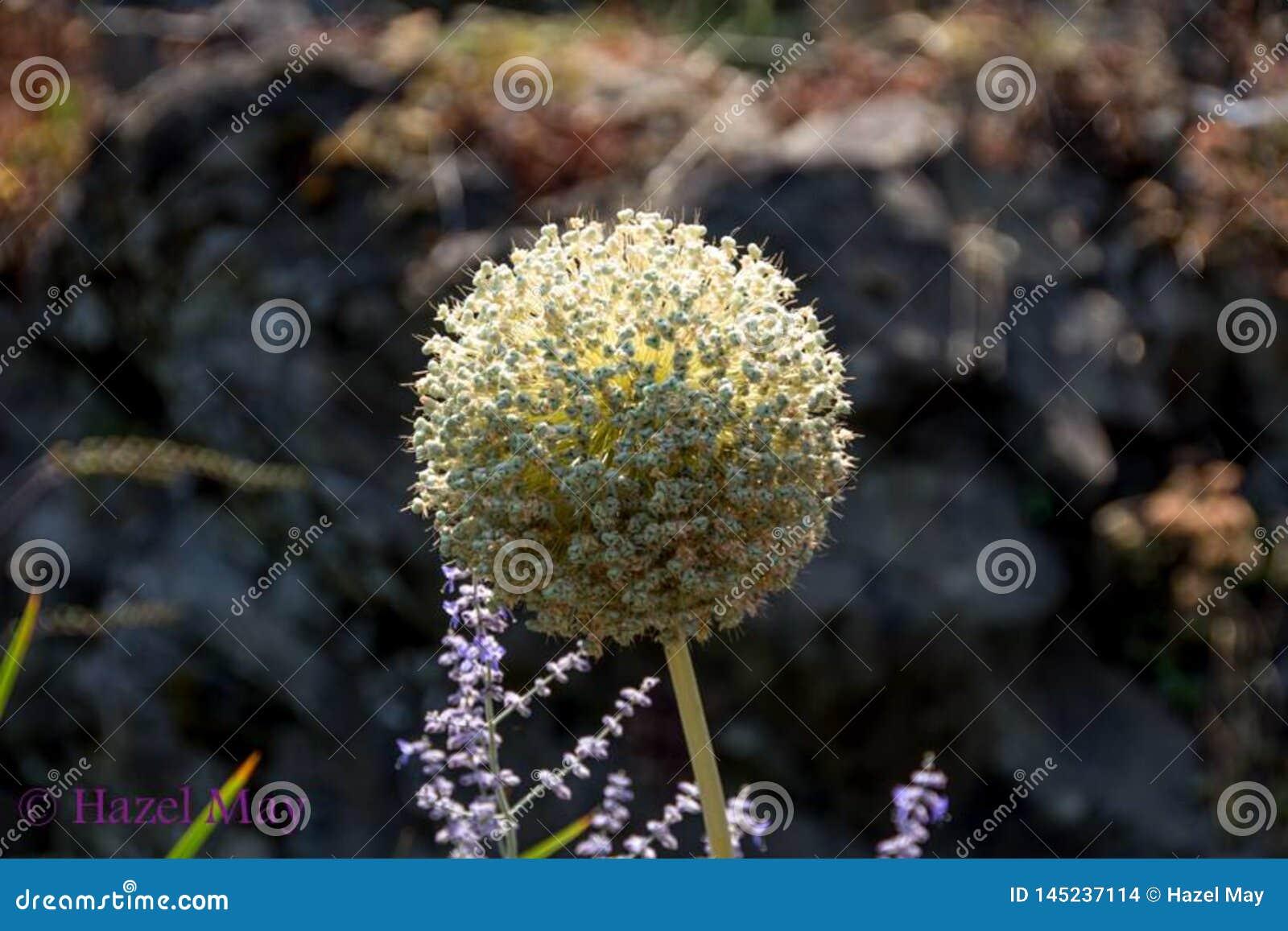 Pétales peu communs de fleur crème de couleur