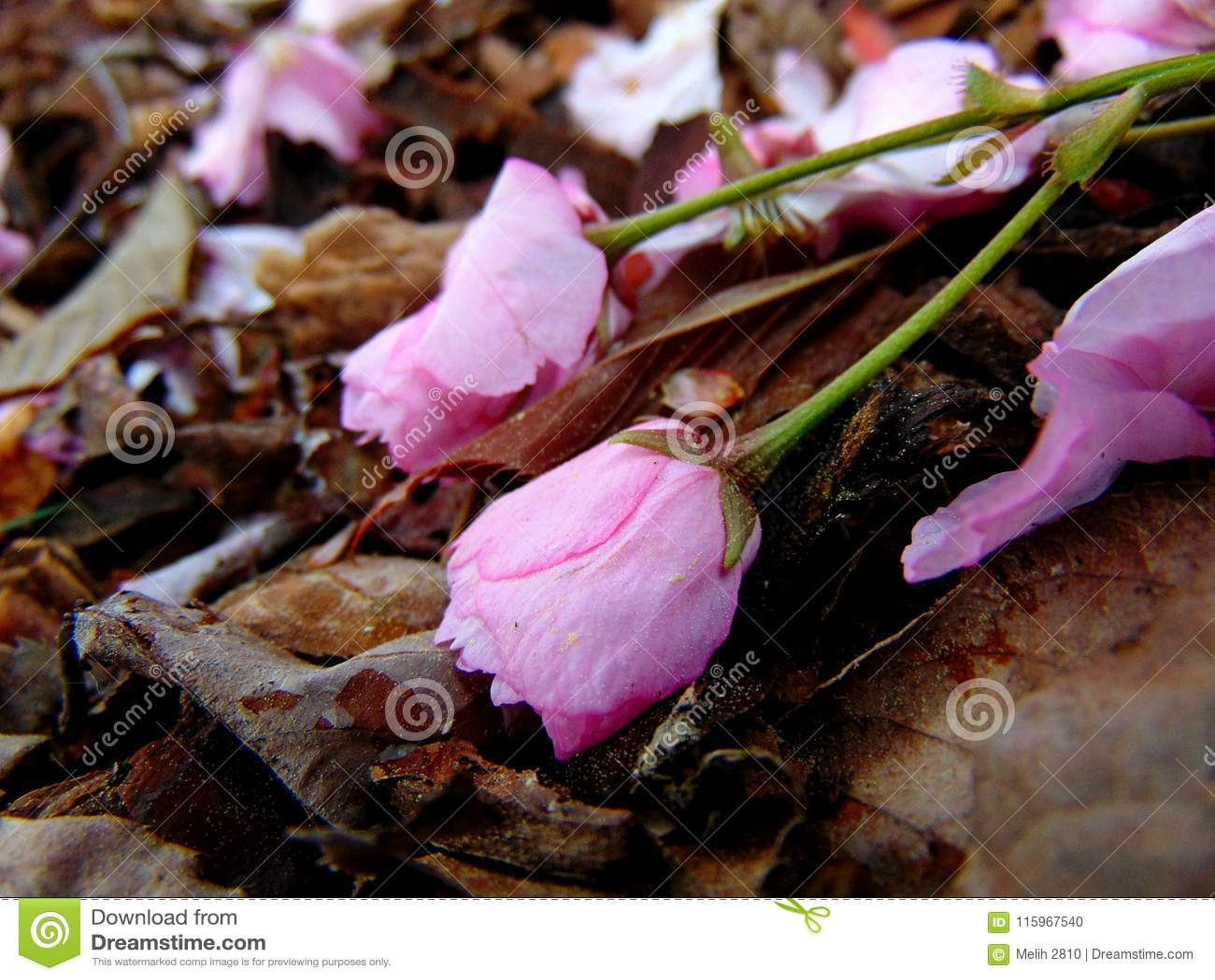 Pétales roses de fleurs de cerisier s étendant sur une terre d écorce