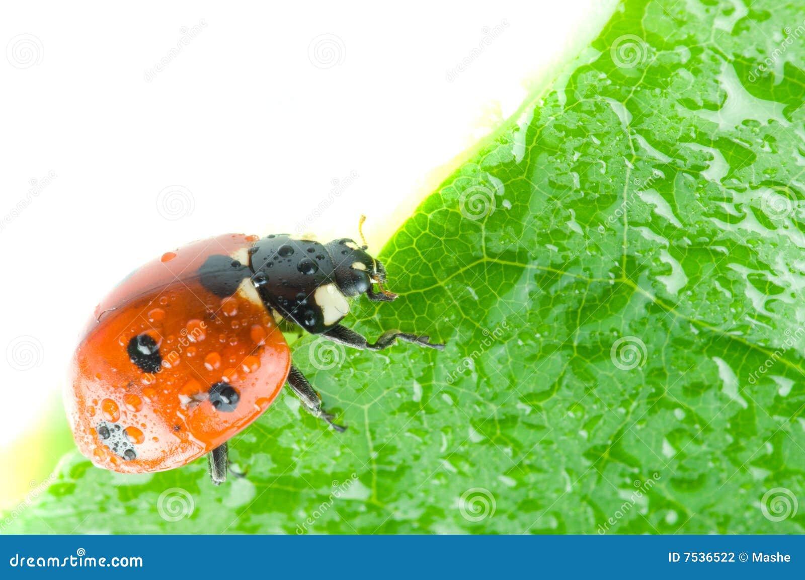 Pétalo de la flor con el ladybug